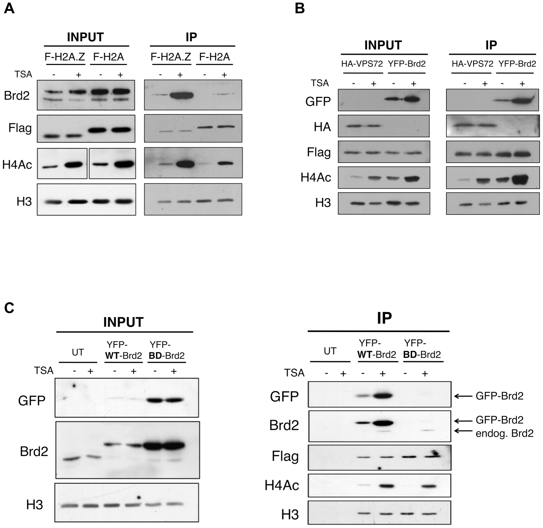 Interaction between Brd2 and H2A.Z nucleosomes increases following TSA treatment and is dependent on the bromodomains of Brd2.