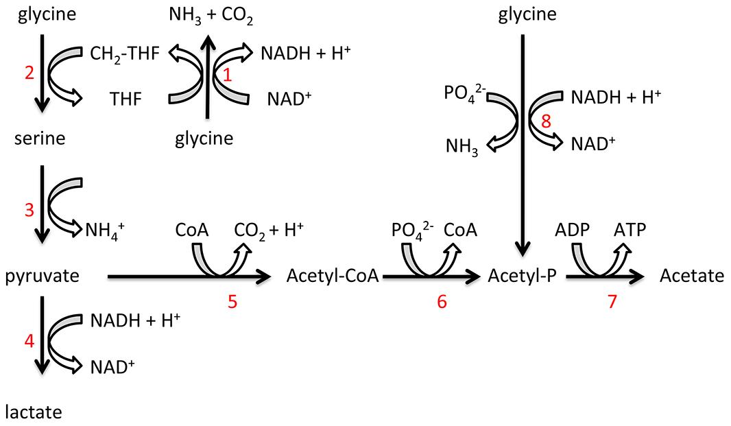 Proposed <i>T. denticola</i> glycine catabolic pathways.