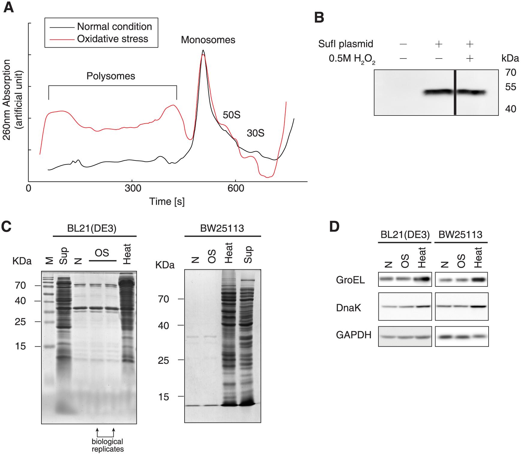 Protein biogenesis under oxidative stress.