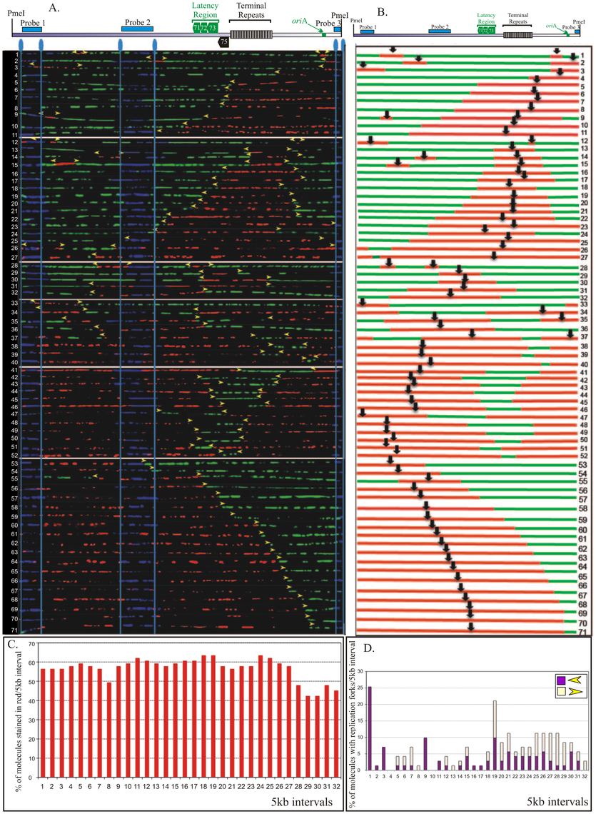 SMARD performed on <i>Pme</i>I linearized KSHV genome from BCBL-1 cells.