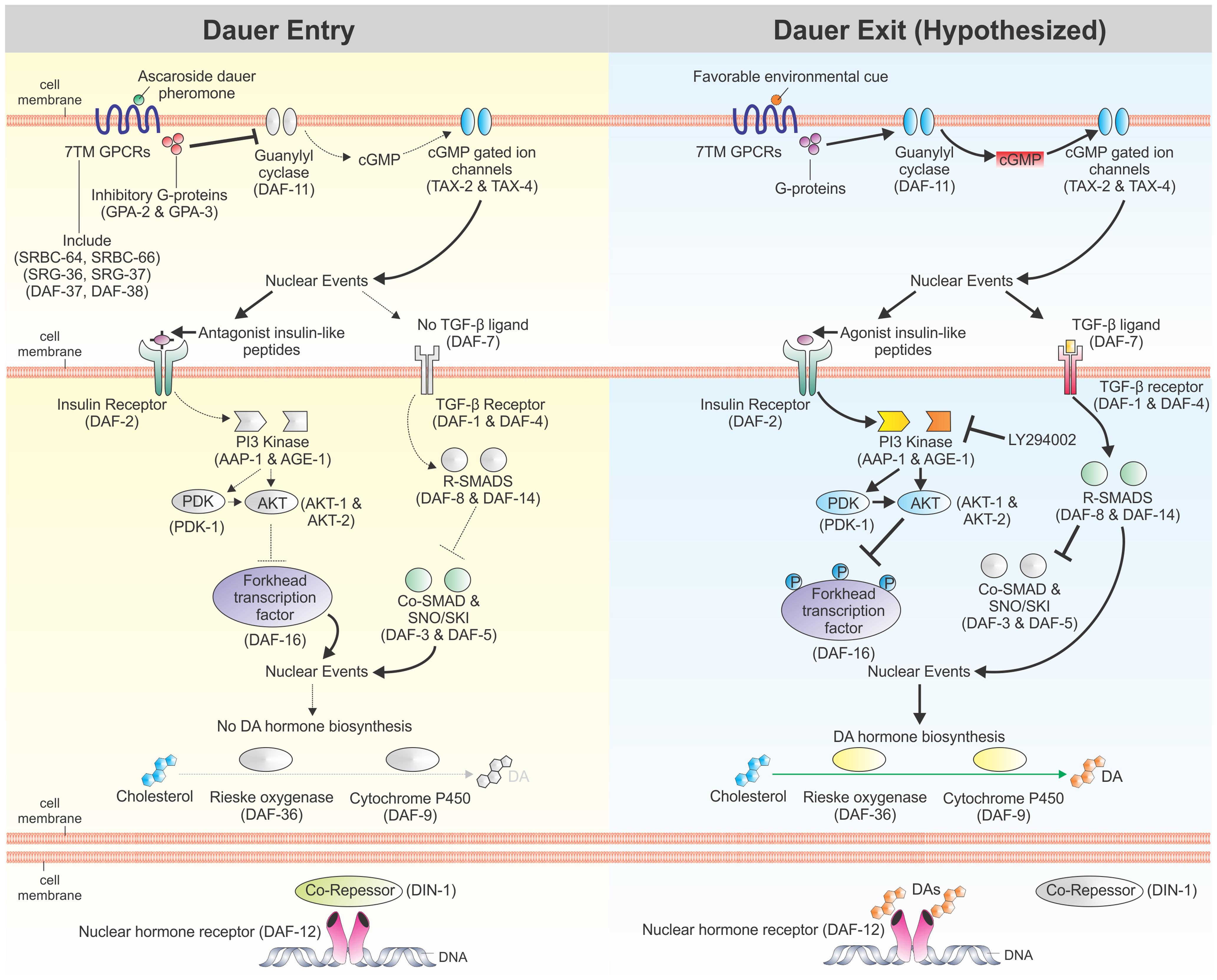 Regulation of <i>C. elegans</i> dauer development by cellular signaling pathways.