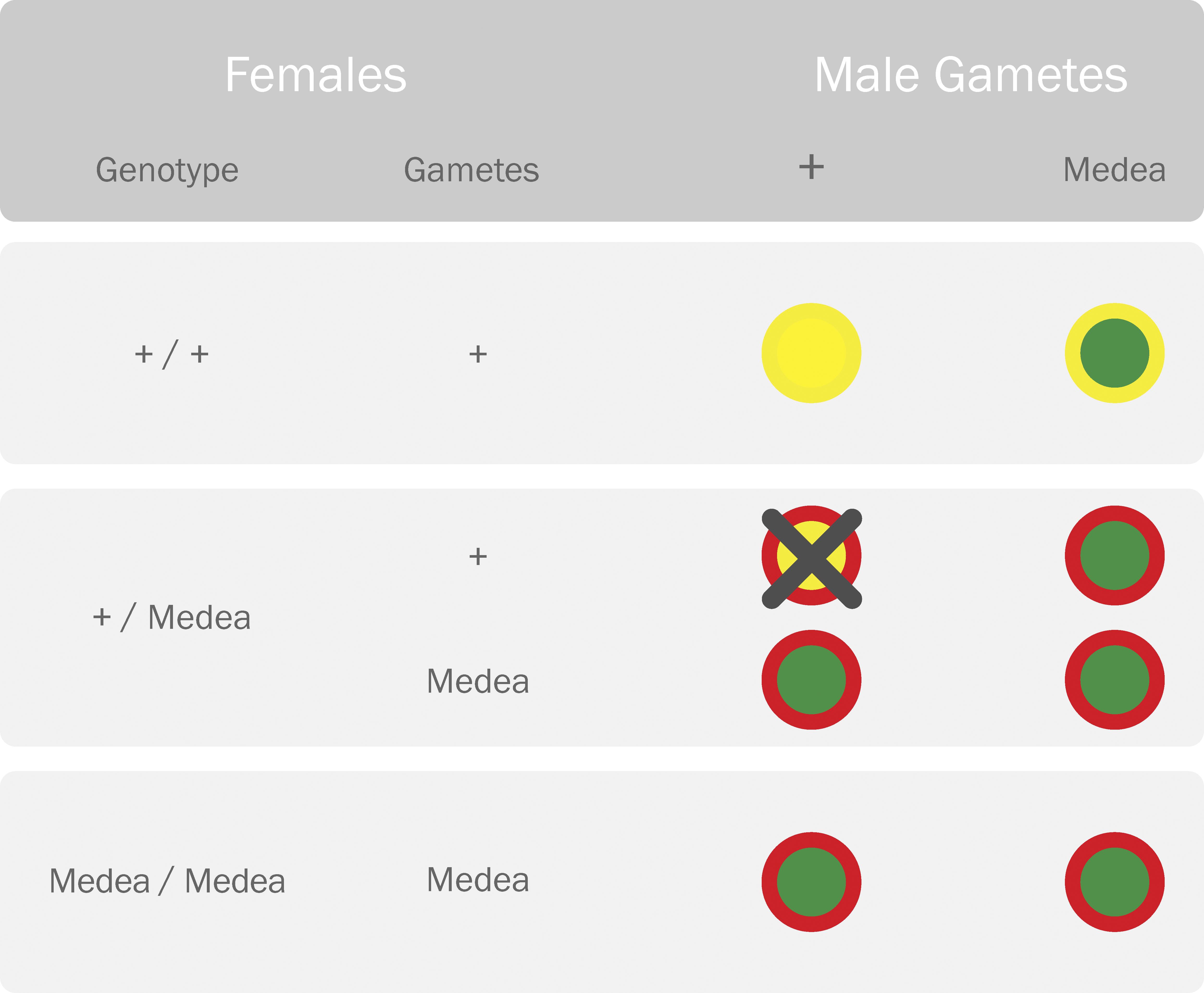 Parental Crosses Representing the Reproductive Advantage of the <i>Medea</i> Allele