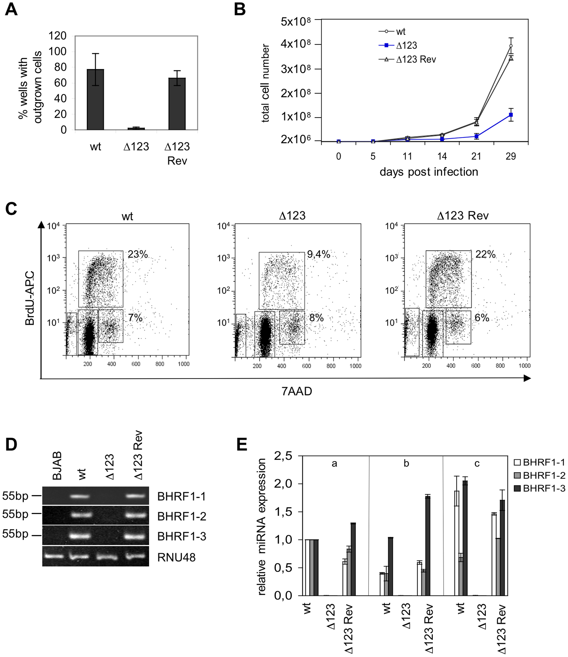 B cells transformed by Δ123 virus show defective cell growth relative to its wild type counterparts.