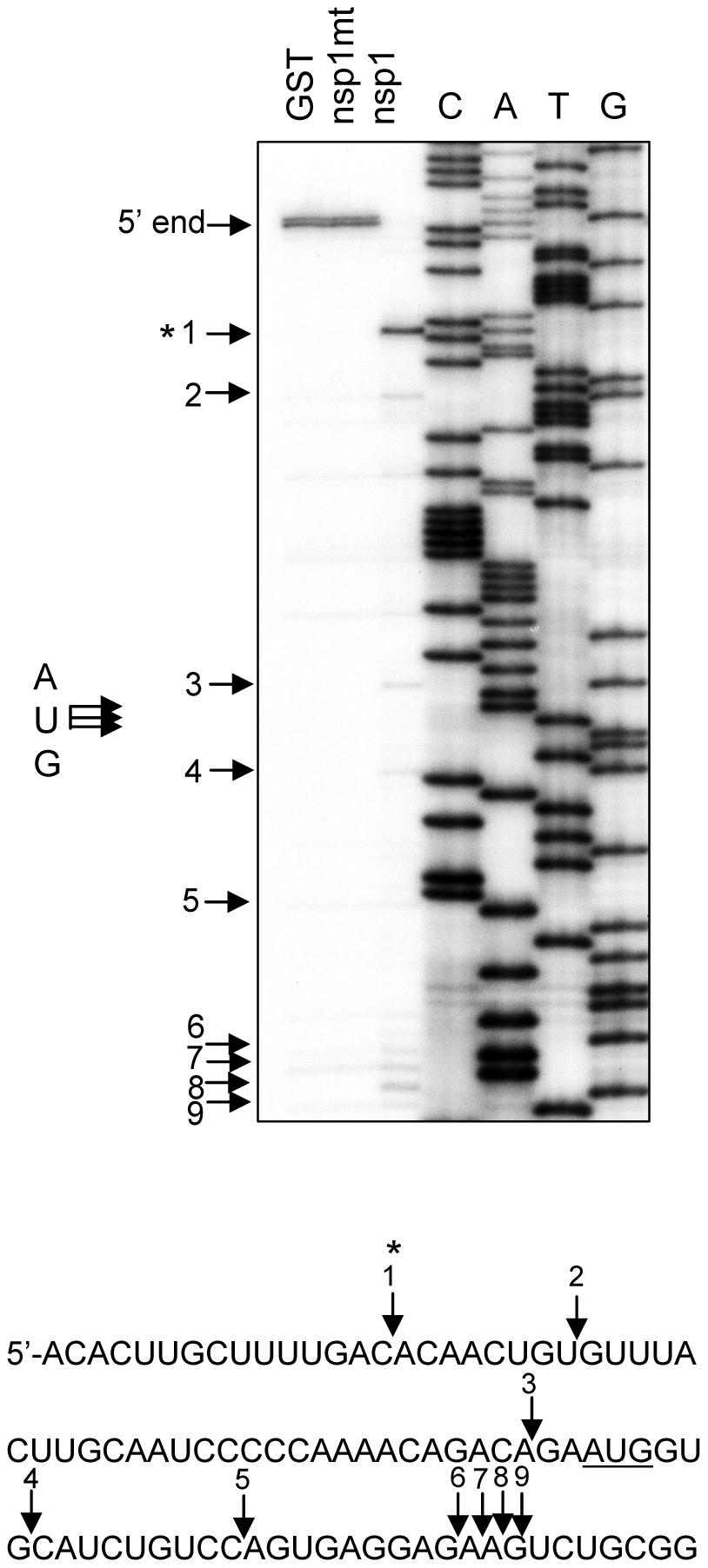 Characterization of nsp1-induced RNA modification in rabbit β-globin mRNA.