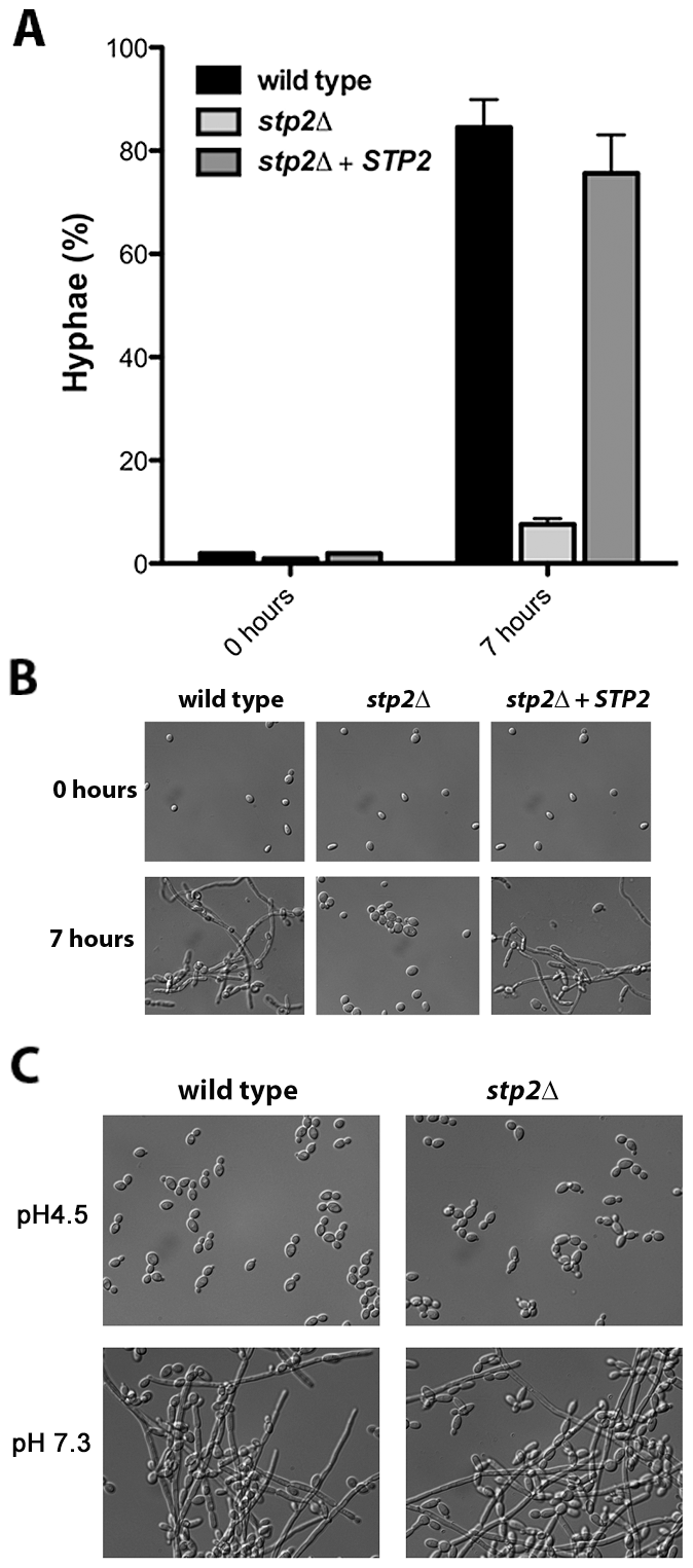 Cells lacking <i>STP2</i> do not induce hyphal morphogenesis under alkalinization conditions.