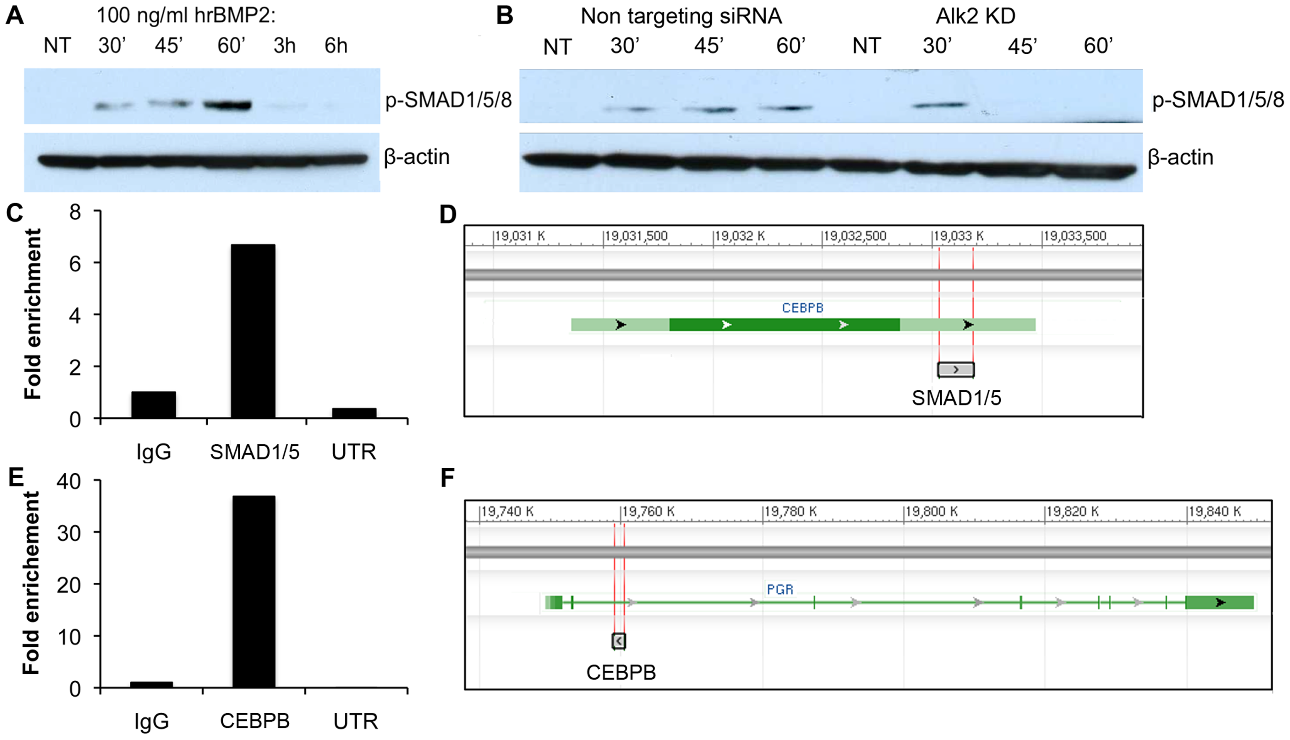 SMAD1,5,8 phosphorylation in hrBMP2-treated human endometrial stromal cells and SMAD1/5 and CEBPB ChIP experiments.