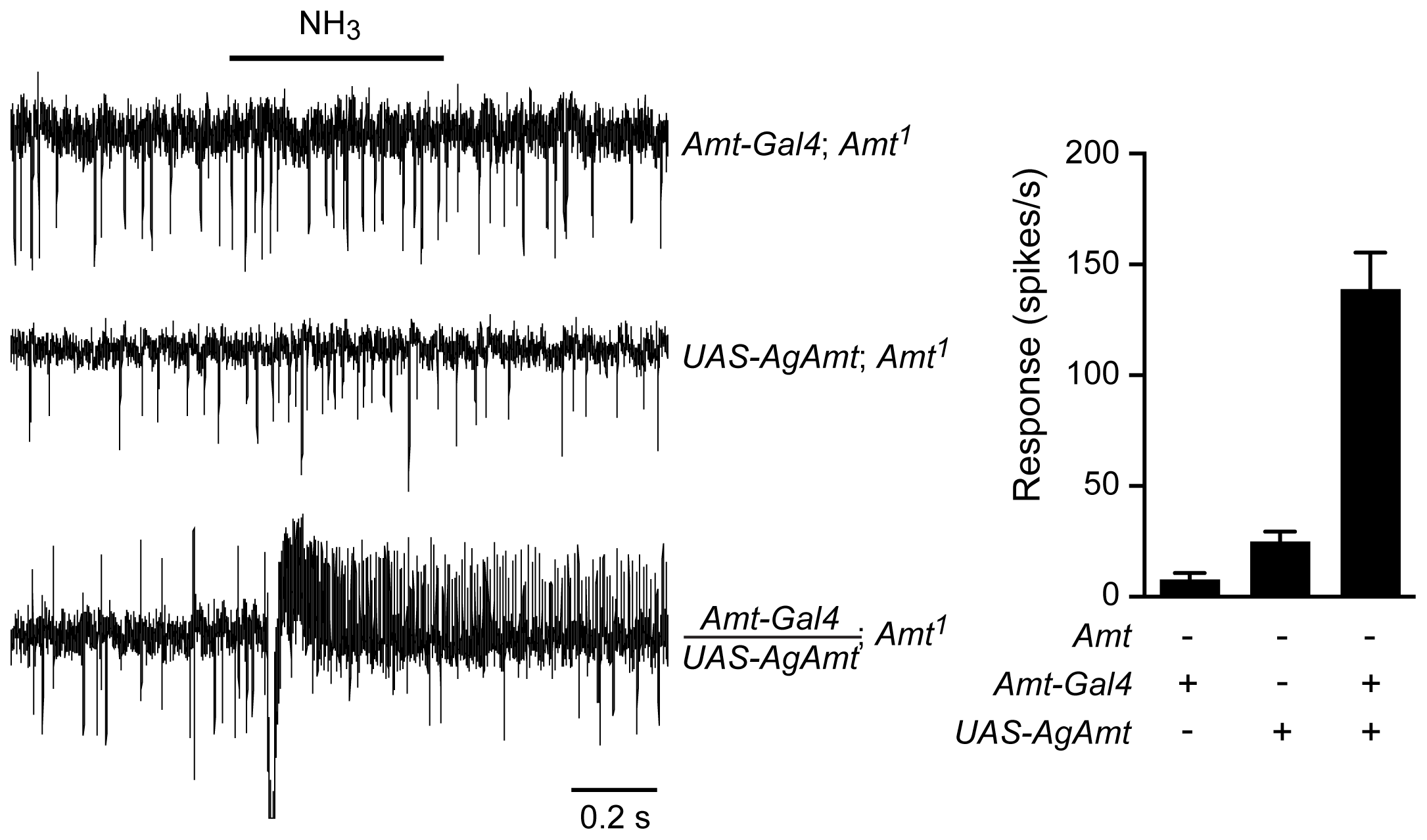<i>AgAmt</i> from the mosquito <i>Anopheles gambiae</i> can substitute for <i>Drosophila Amt.</i>