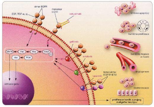 Schematické znázornění mechanizmu účinku inhibitorů receptoru pro epidermální růstový faktor (převzato z [42]).