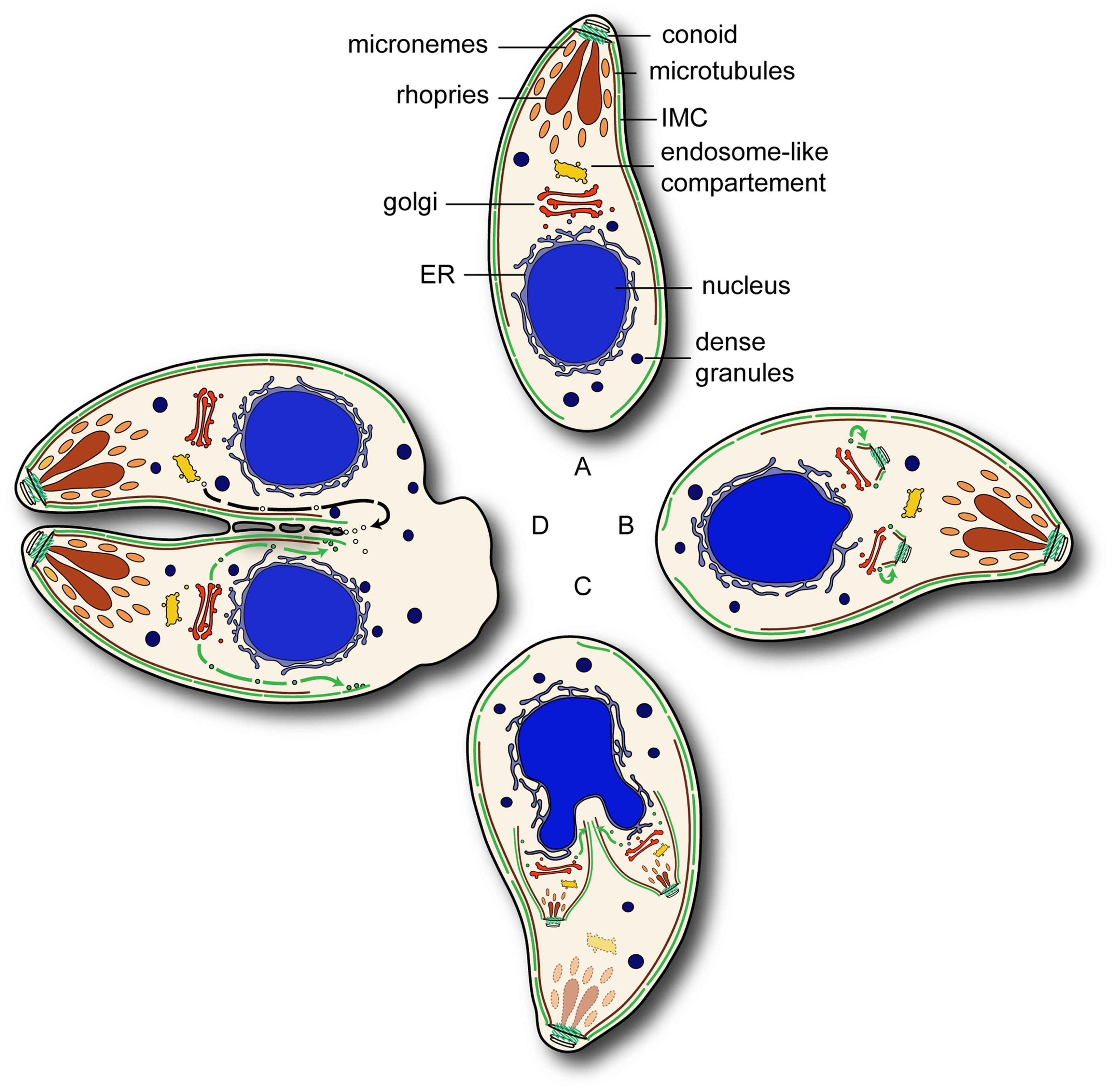 Overview of the Rab11 functions during endodyogeny.