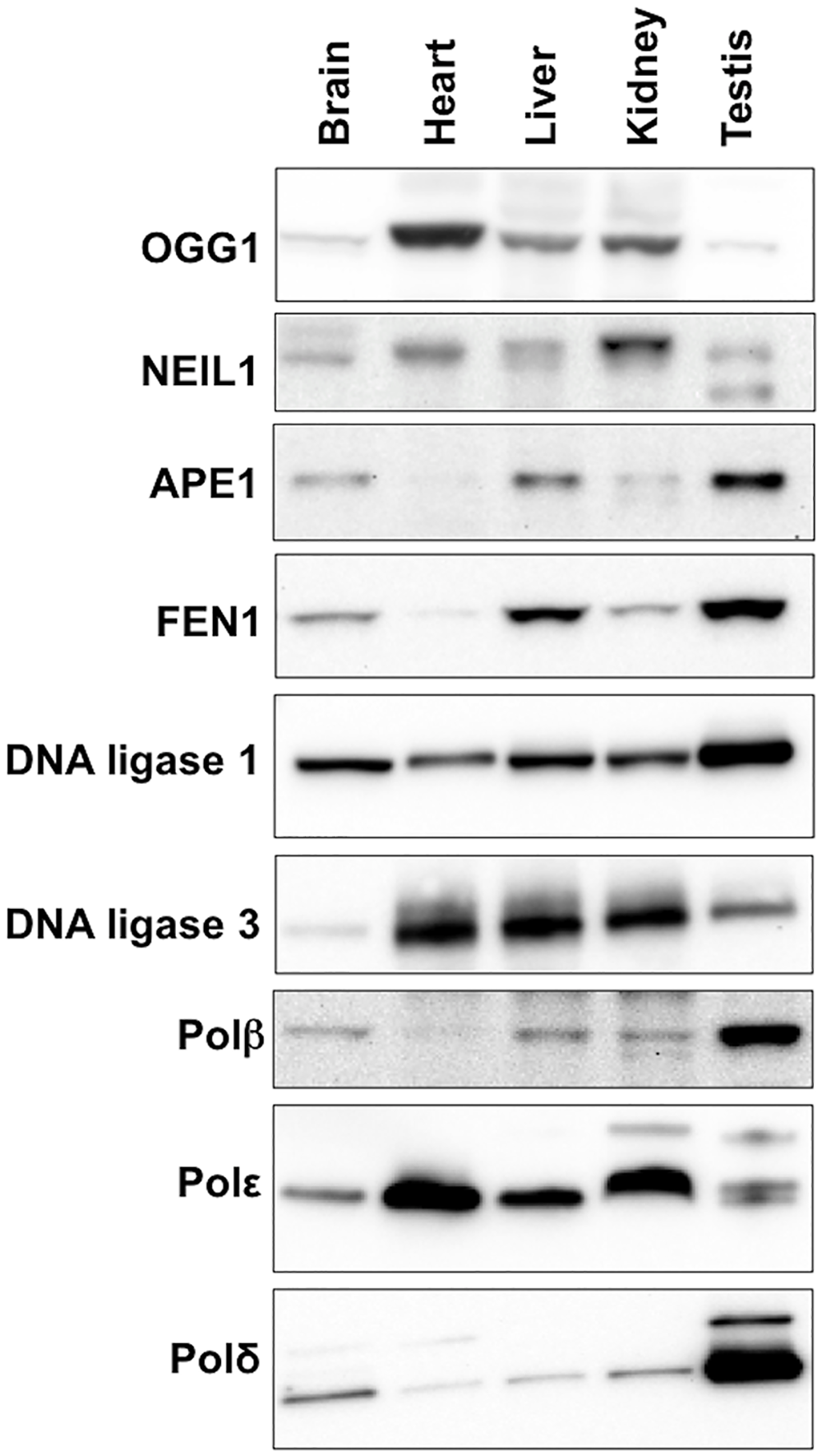 Expression of various BER proteins in different mouse organs.