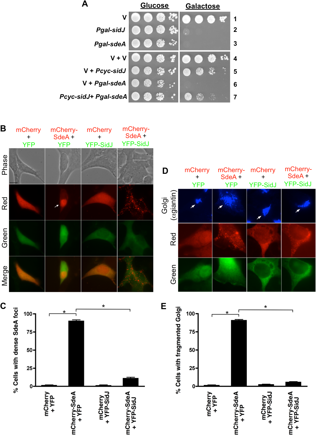 SidJ suppresses SdeA toxicity in yeast and mammalian cells.