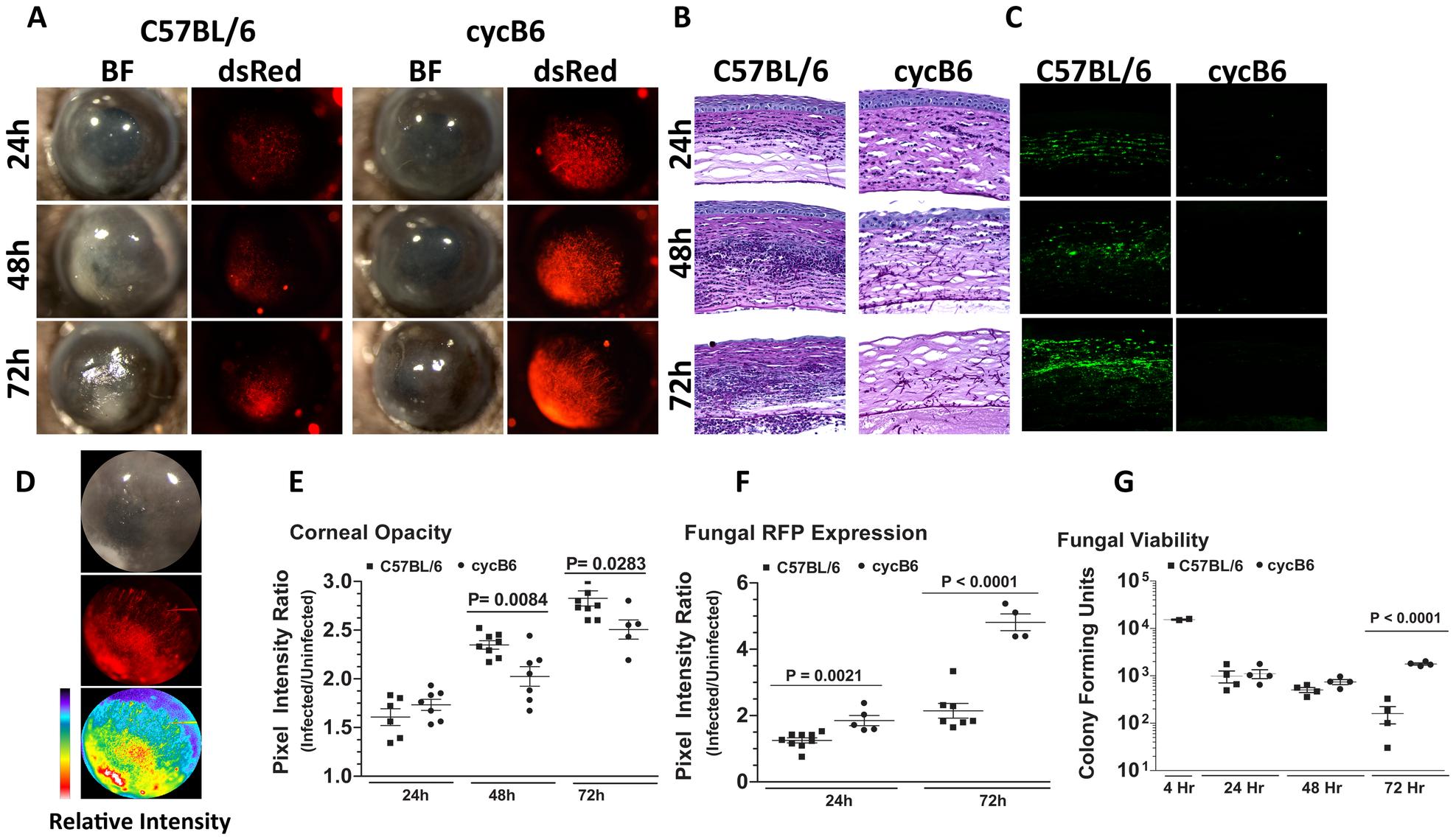 <i>Aspergillus fumigatus</i> keratitis in cyclophosphamide treated mice.
