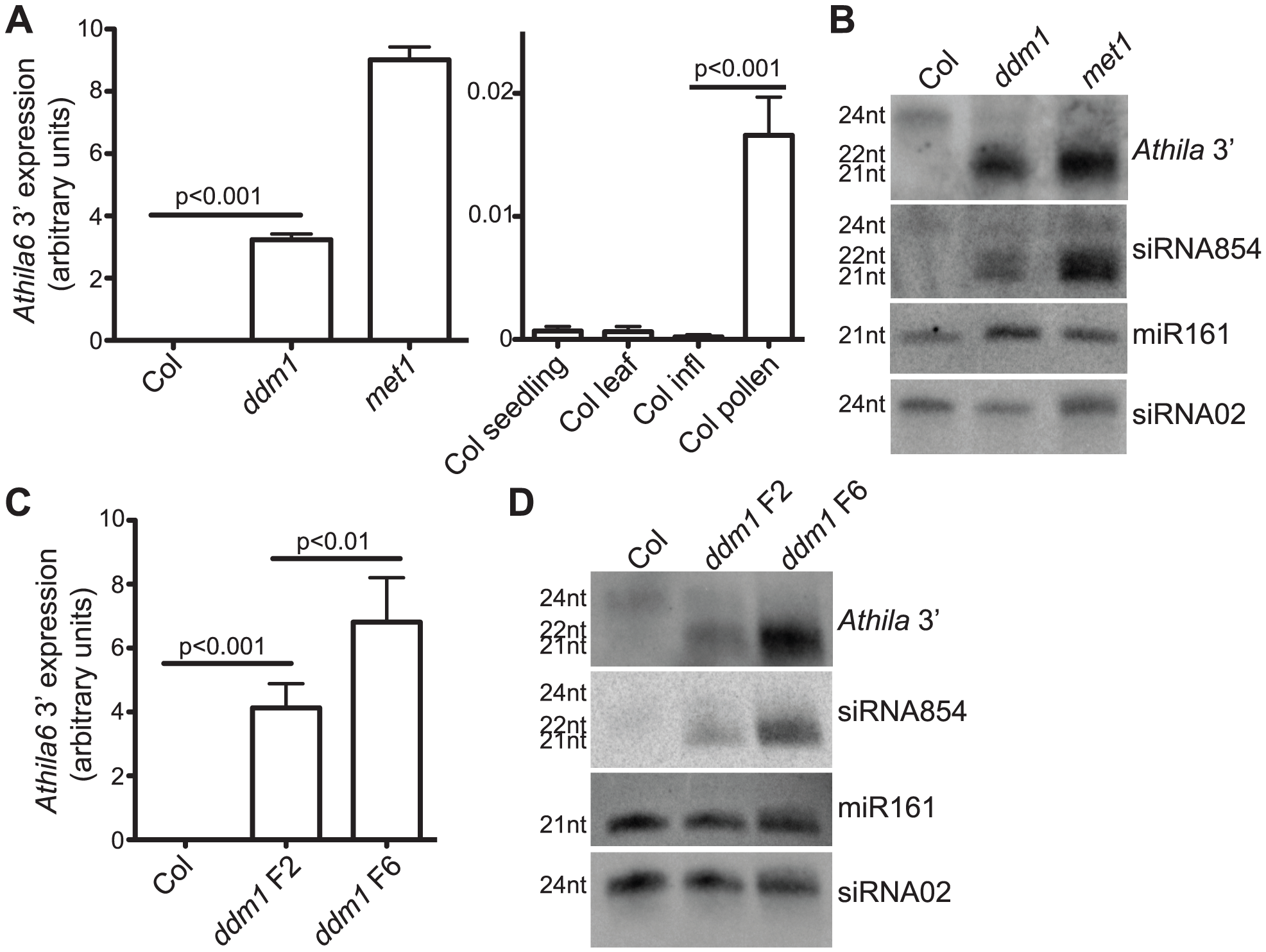 Expression of the <i>Athila6</i> retrotransposon leads to accumulation of <i>Athila</i> 21–22 nt siRNAs, including siRNA854.