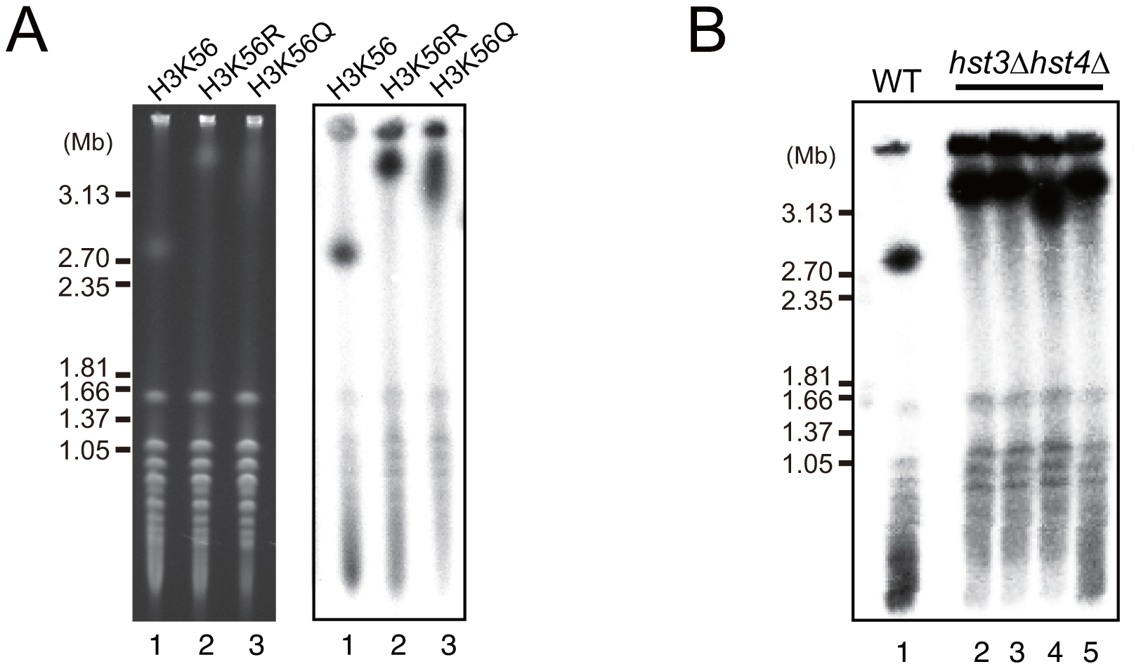 Dysfunction of histone H3K56 acetylation and deacetylation induces hyper-amplification of rDNA copy number.