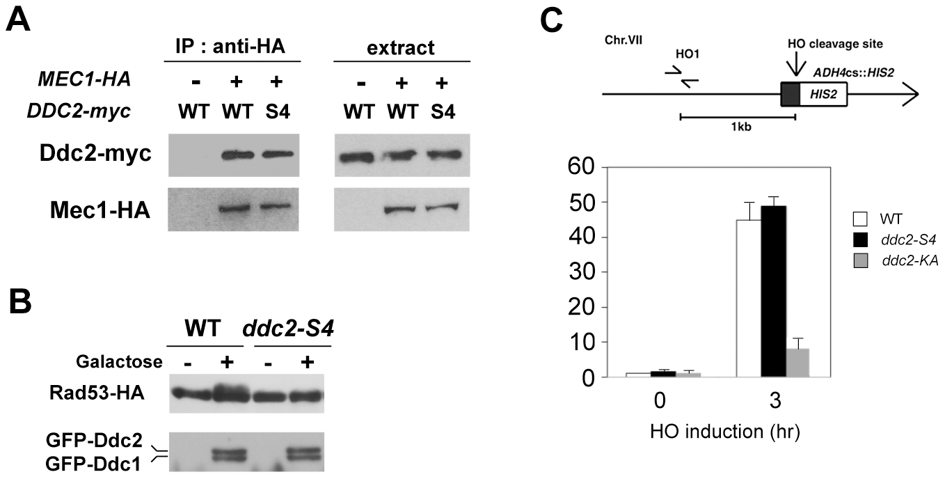 Effect of <i>ddc2-S4</i> on Mec1-Ddc2 interaction and Mec1 localization.