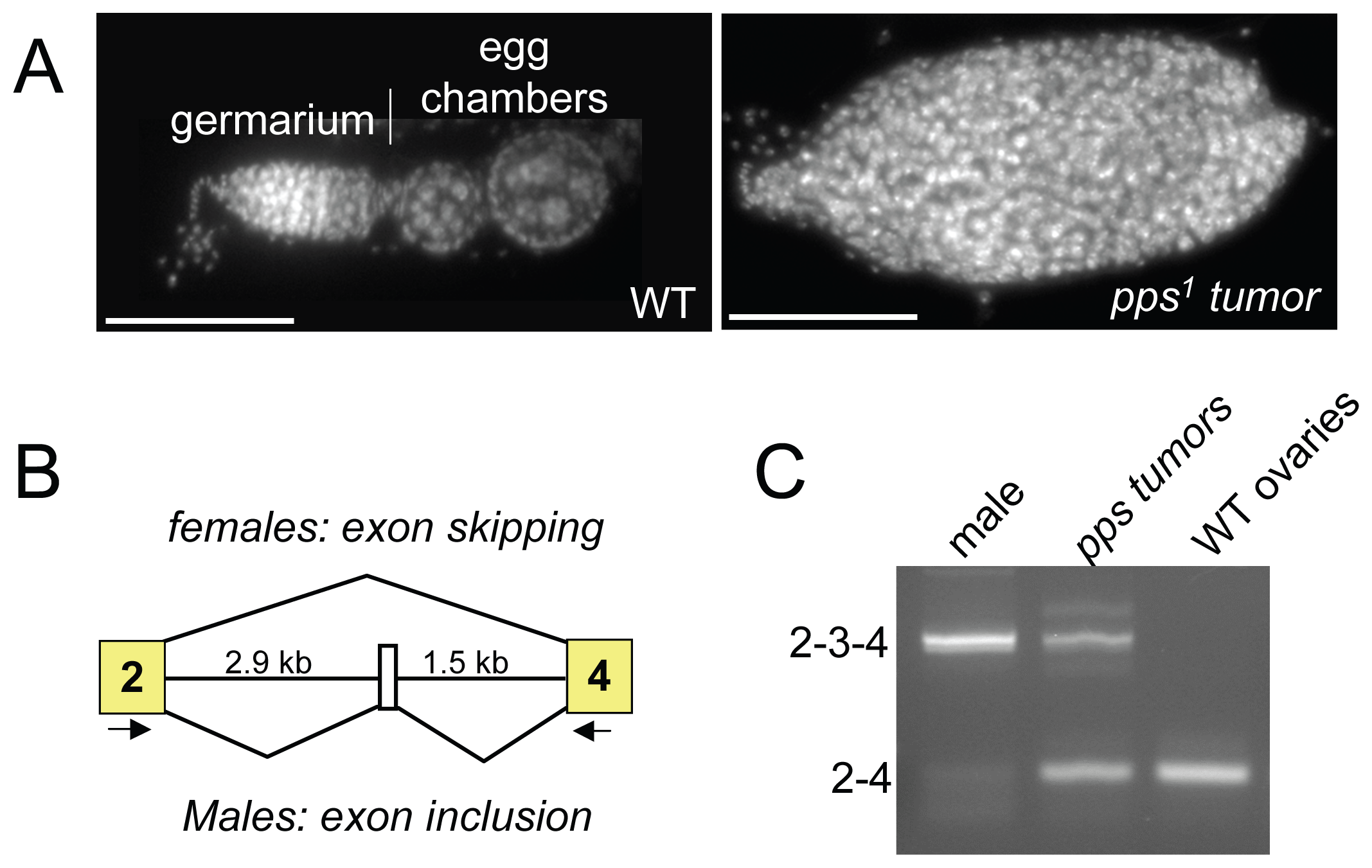 <i>Sxl</i> splicing is disrupted in the ovaries of incompletely rescued <i>pps<sup>1</sup></i> mutant females.