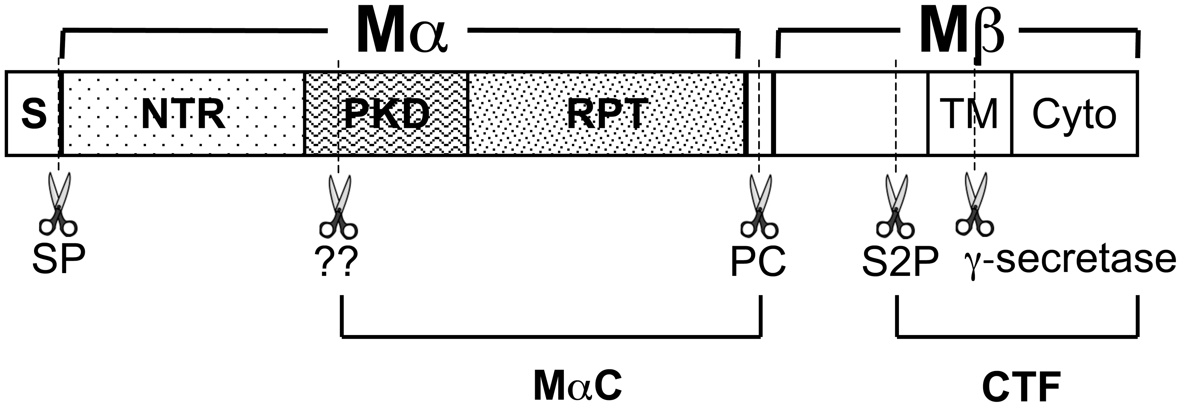 Schematic diagram of PMEL proteolytic processing.