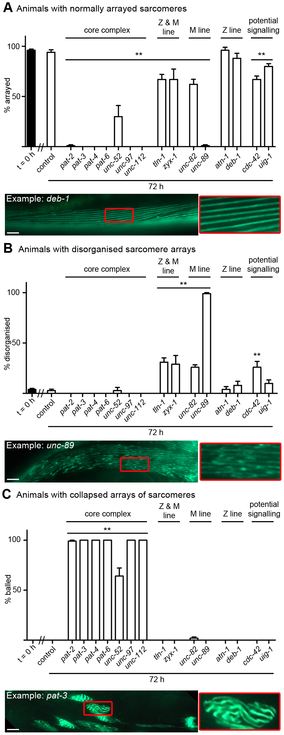 Acute loss of muscle attachment causes disorganisation and collapse of arrayed sarcomeres.