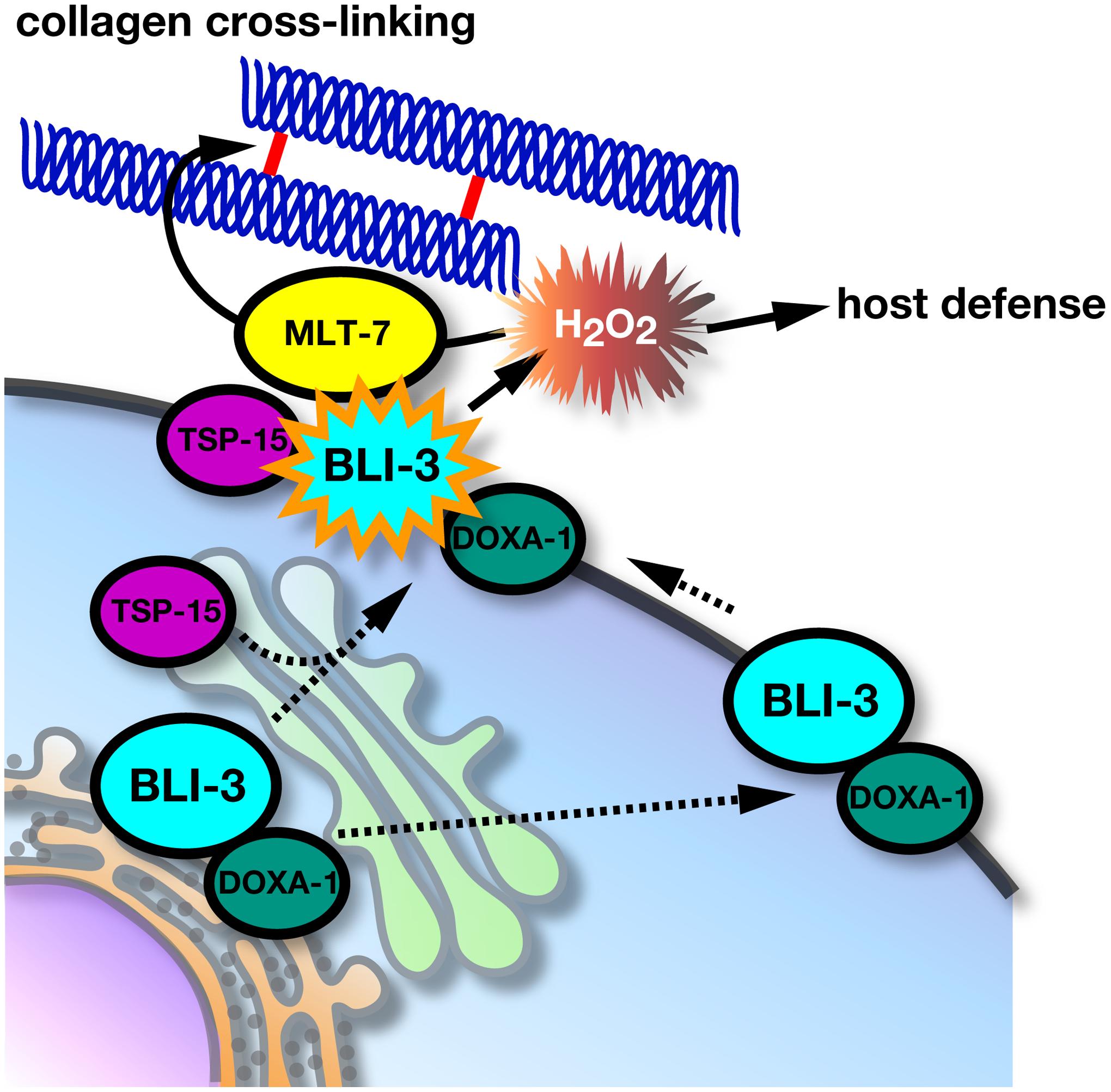 Molecular regulation of BLI-3 by TSP-15 and DOXA-1.