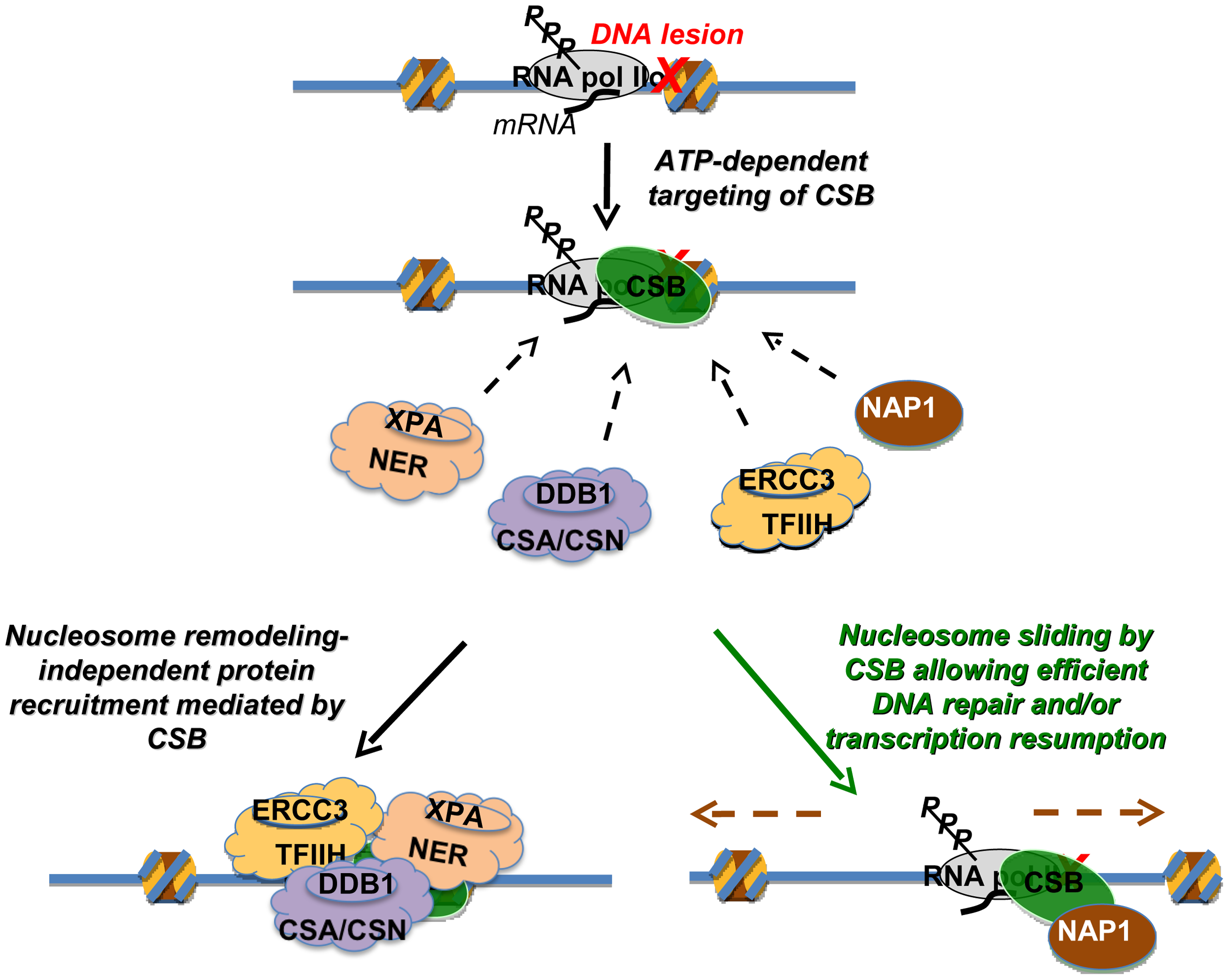 Model Depicting the Distinct Activities of CSB in Transcription-Coupled DNA Repair.