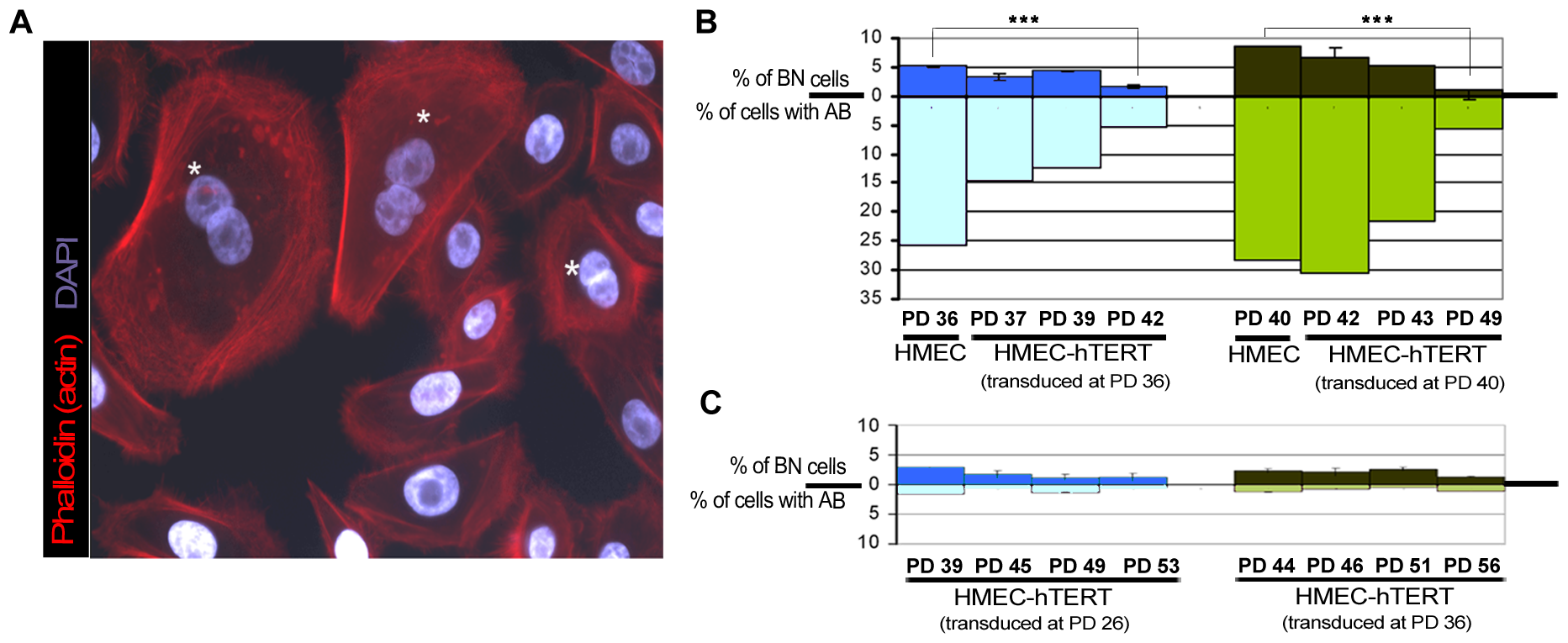 Quantification of anaphase bridges and binucleates in non-transduced and hTERT-transduced HMECs.