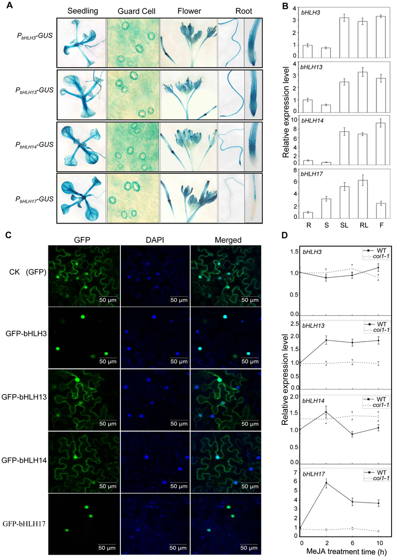 Expression patterns and subcellular localizations of bHLH3, bHLH13, bHLH14 and bHLH17.
