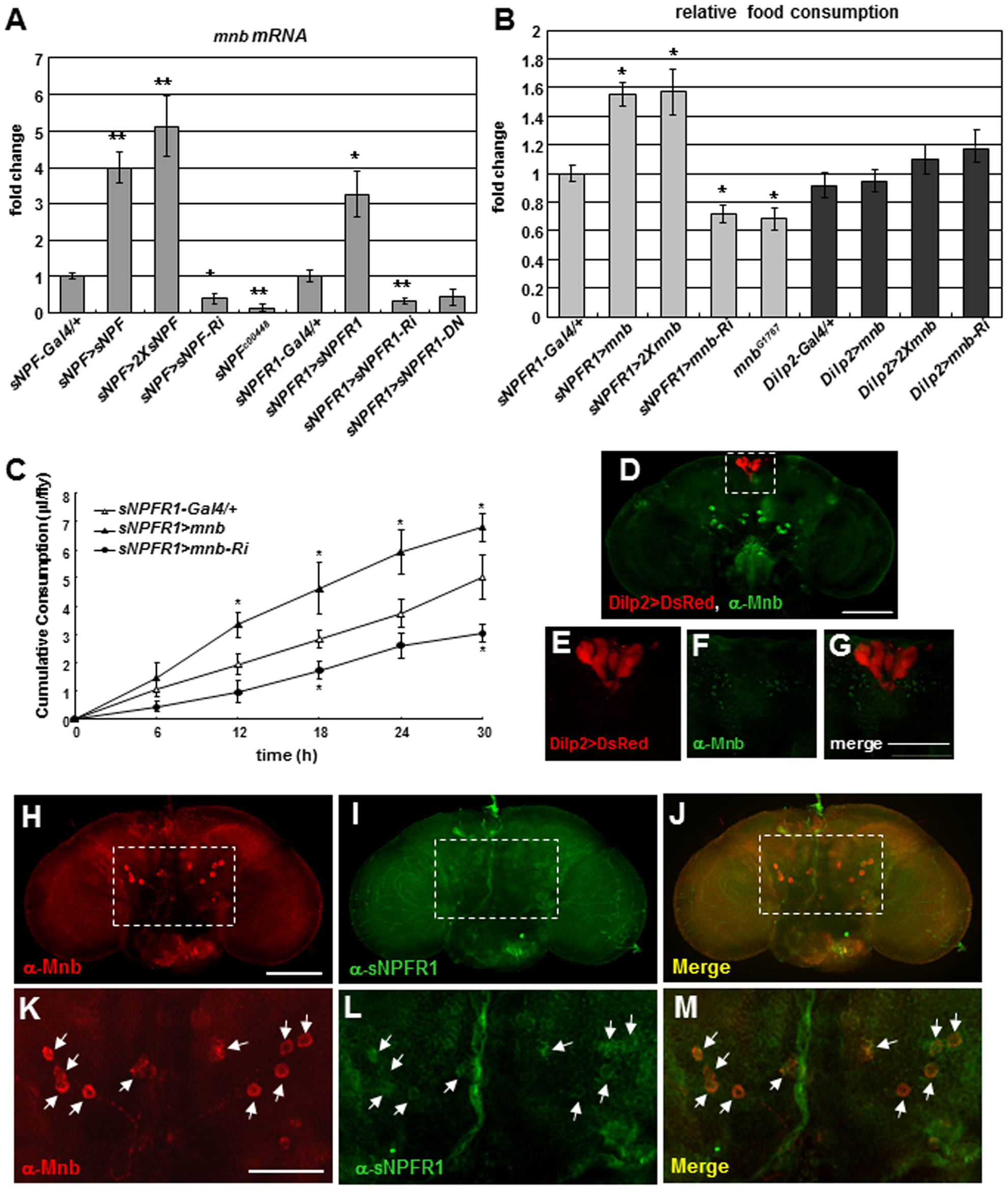 Expression and distribution of <i>Drosophila mnb</i> in adults in relation to <i>sNPF</i>, <i>sNPFR1</i>, and feeding.