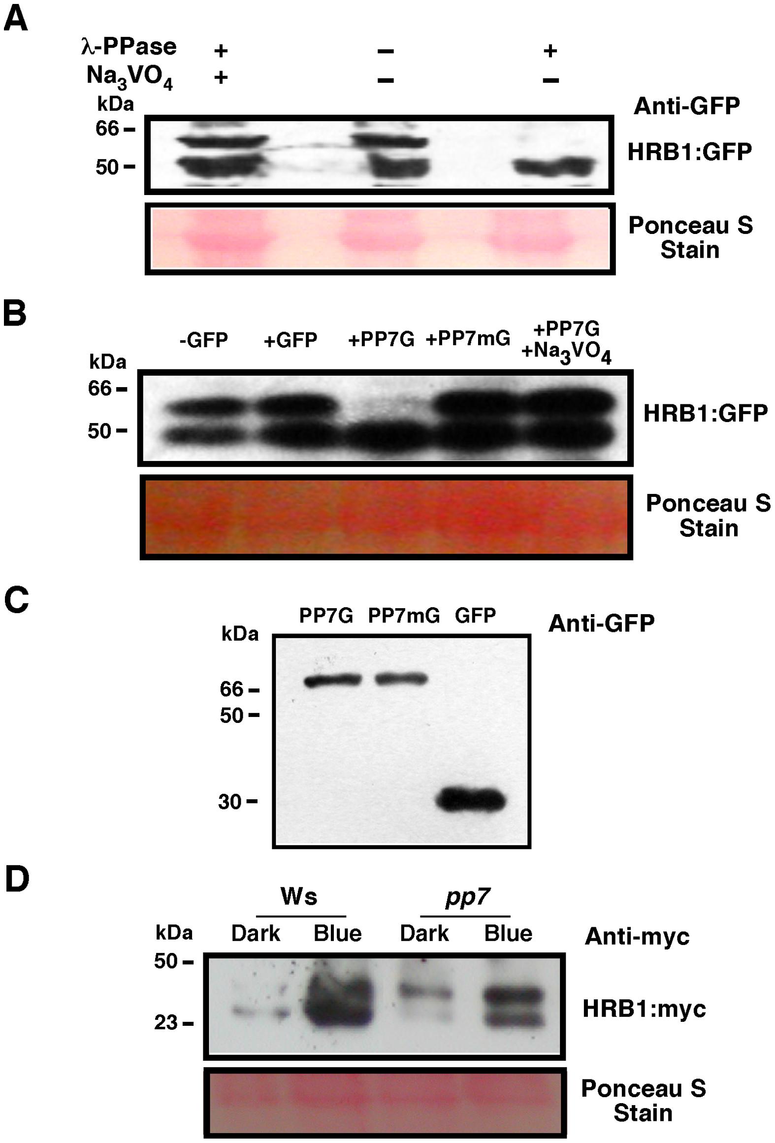 PP7 dephosphorylates HRB1.