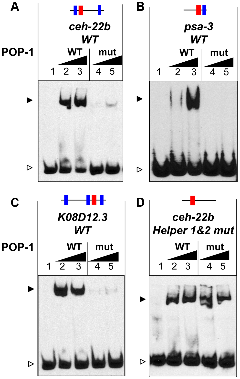 The C-clamp of POP-1 facilitates binding to DNA containing Helper sites.
