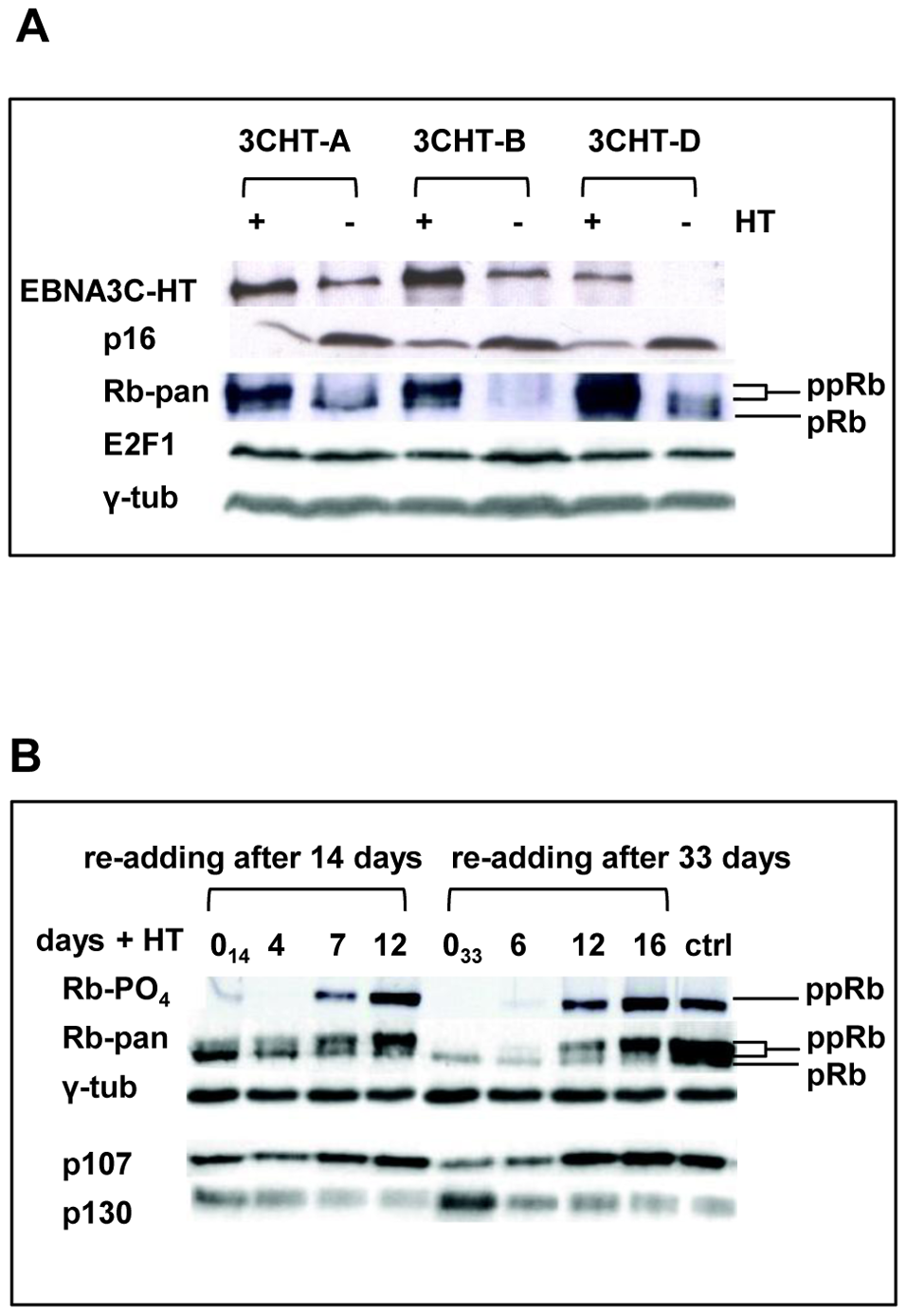 Inactivation of EBNA3C and accumulation of <i>p16<sup>INK4A</sup></i> leads to de-phosphorylation of Rb, reduced expression of p107 and an increase in p130; activation of EBNA3C reverses these processes.