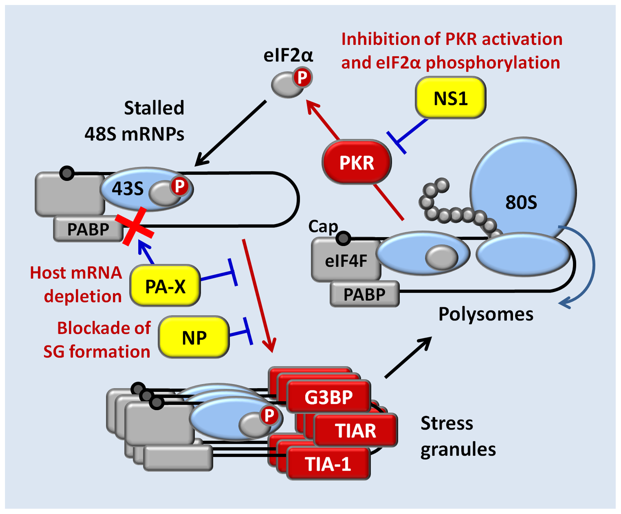 A model for concerted action of NS1, NP, and PA-X proteins in the inhibition of translation arrest and SG formation in influenza A virus-infected cells.