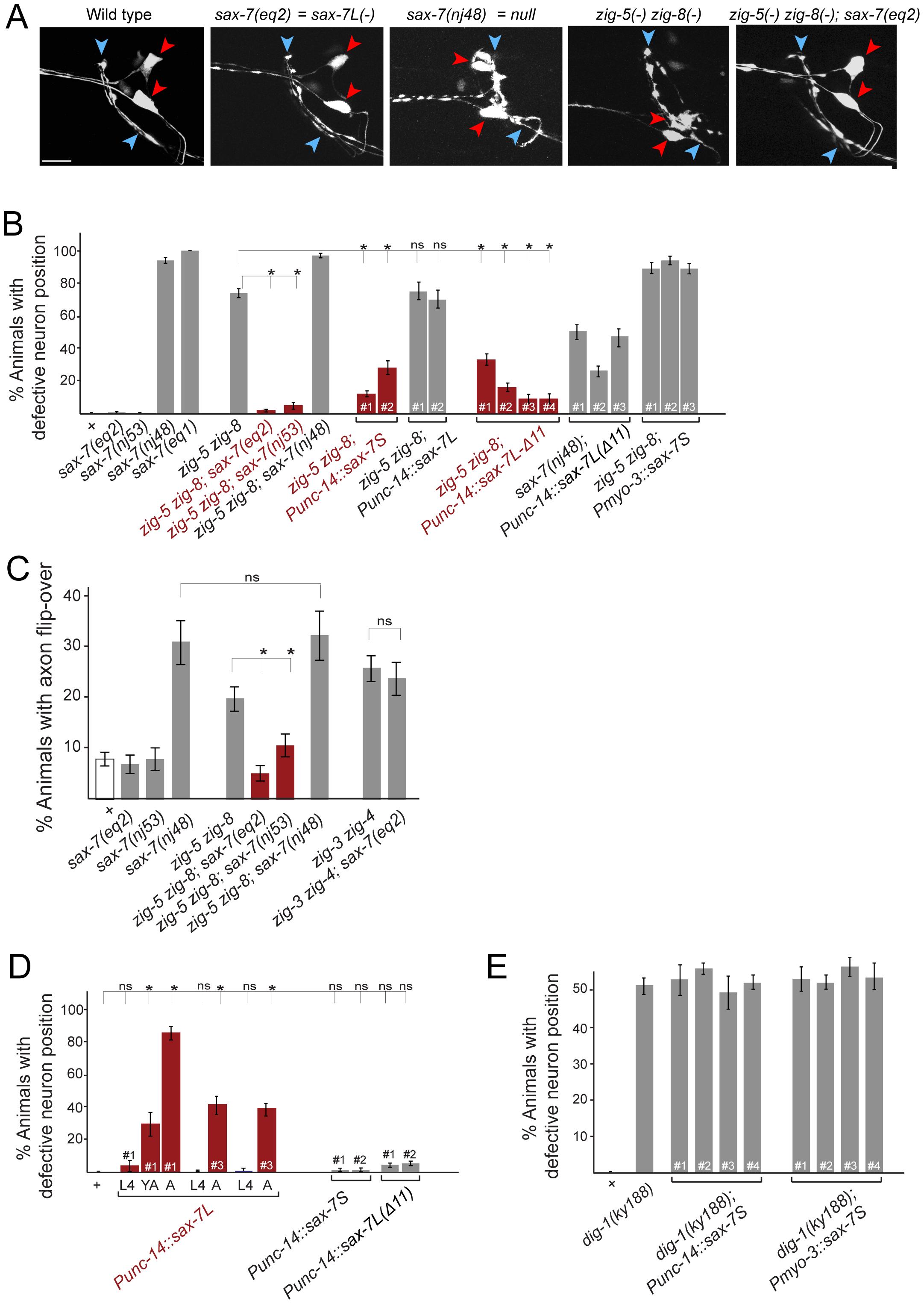Genetic interactions between <i>zig-5, zig-8</i> and <i>sax-7</i>.