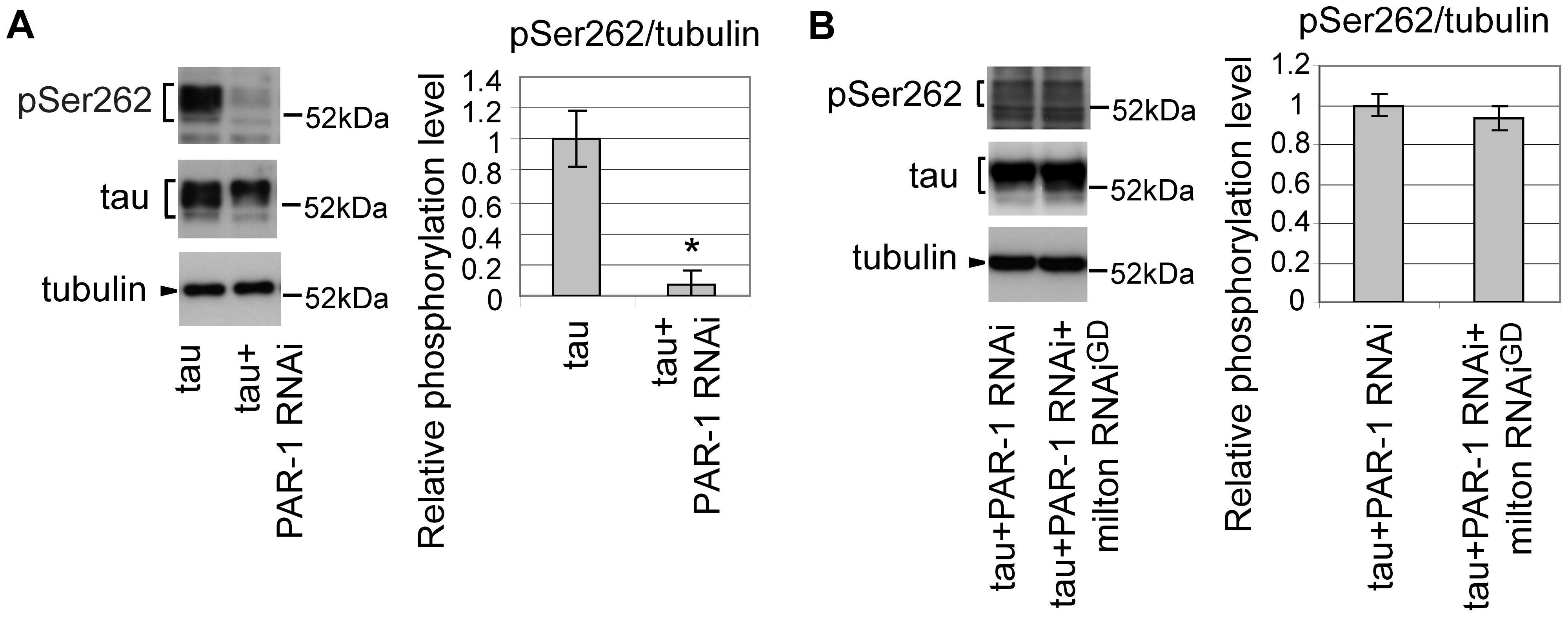 PAR-1 mediates the increase in tau phosphorylation at Ser262 caused by milton knockdown.
