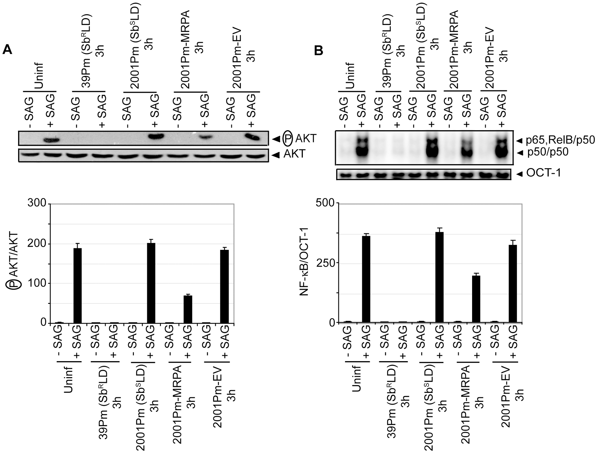 2001Pm-MRPA but not 2001Pm inhibits SAG-induced AKT phosphorylation and DNA binding activity of NF-κB.
