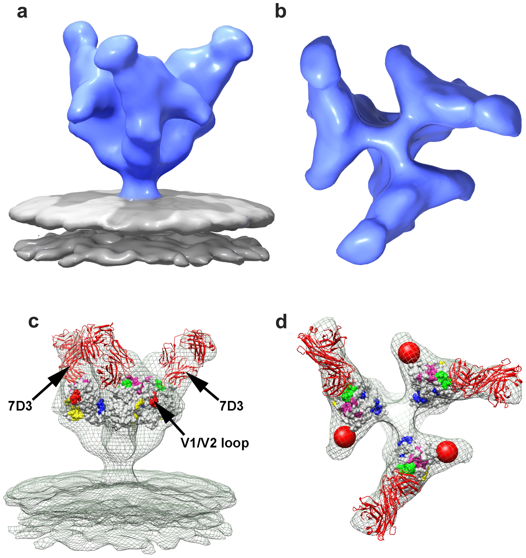 Molecular architecture of co-receptor-binding site antibody (7D3) complexes on SIV CP-MAC Env and fitted gp120 coordinates.