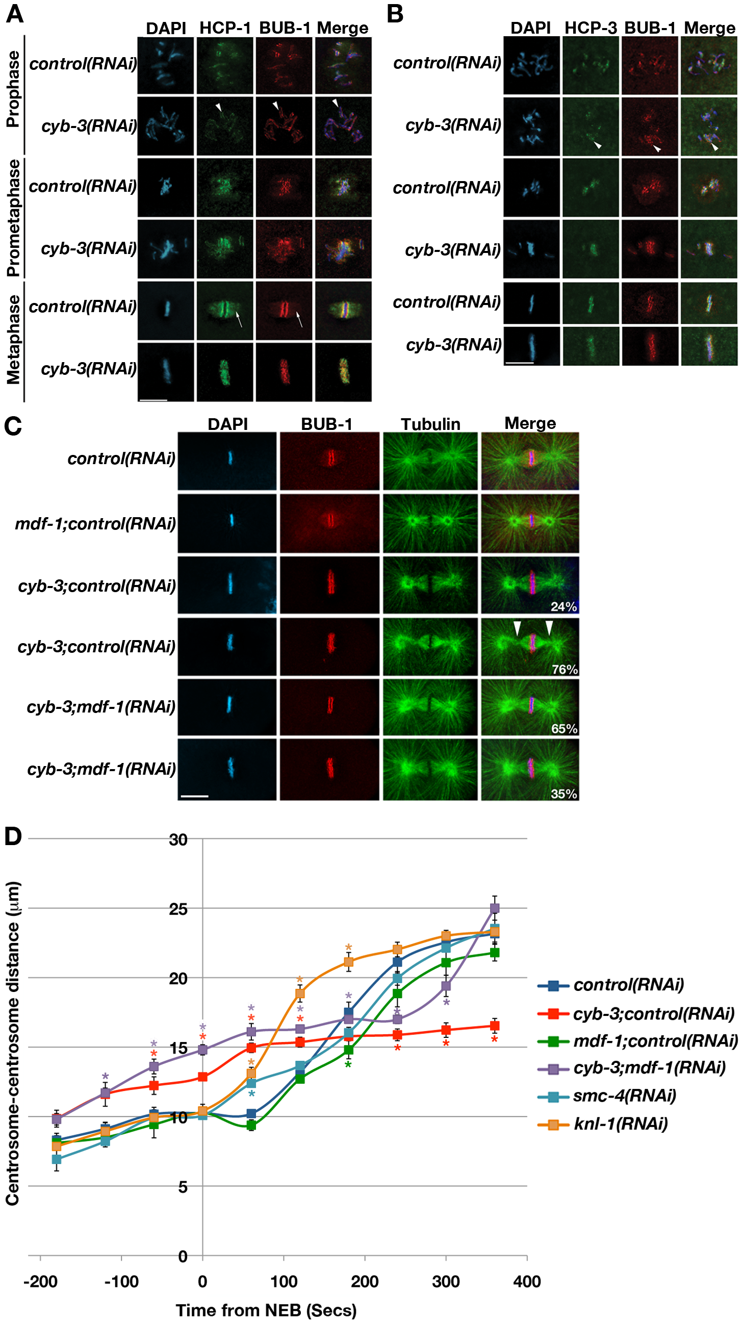 CYB-3 depletion leads to altered metaphase kinetochore geometry and premature spindle pole separation.
