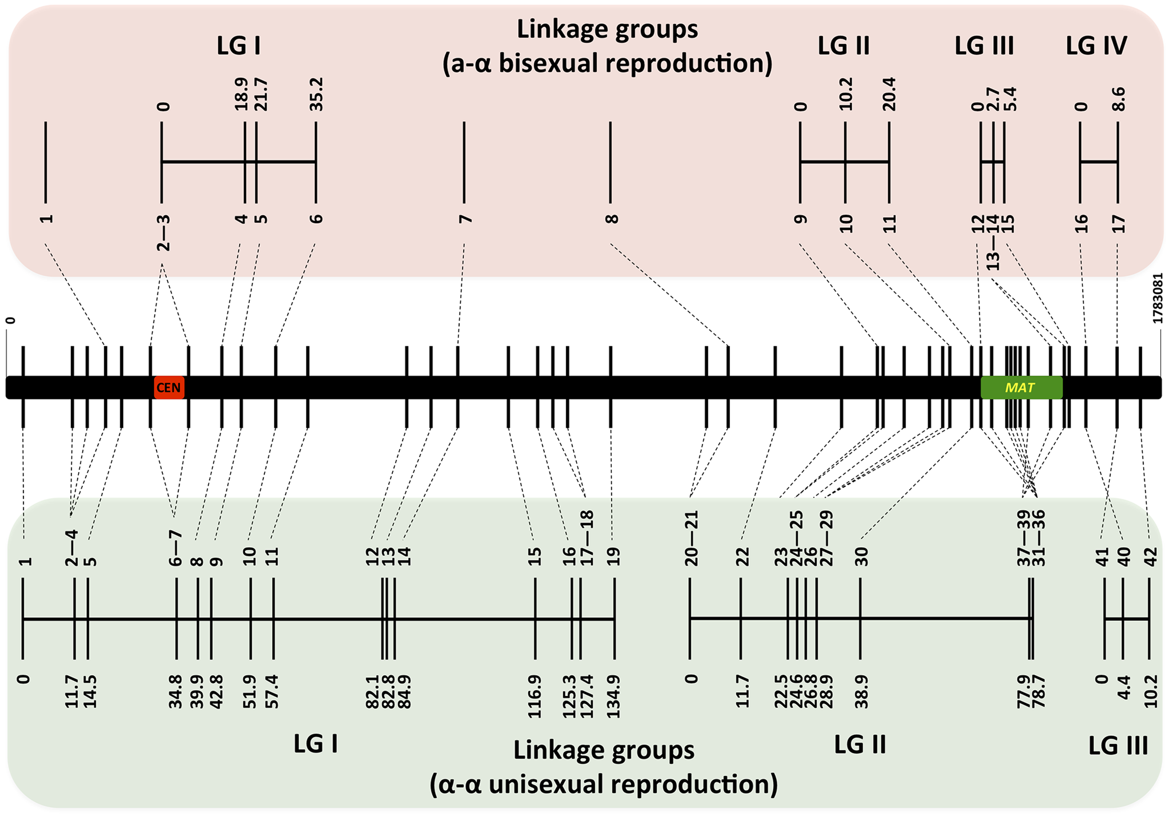 Genetic maps based on analysis of α-α unisexual and a-α bisexual reproduction meiotic progeny.