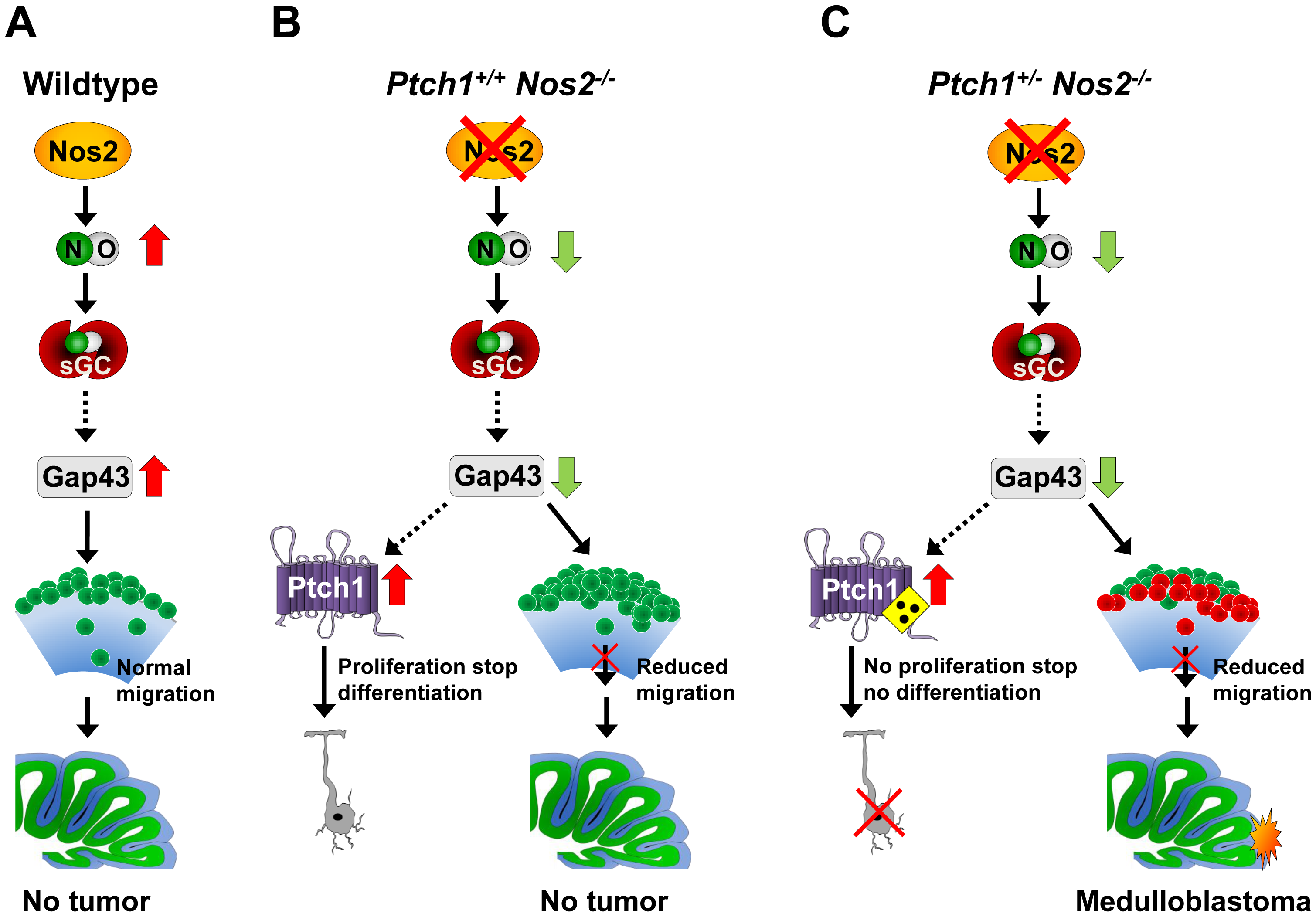 Proposed mechanism promoting MB development by <i>Nos2</i> inactivation in <i>Ptch1</i>-mutant mice.