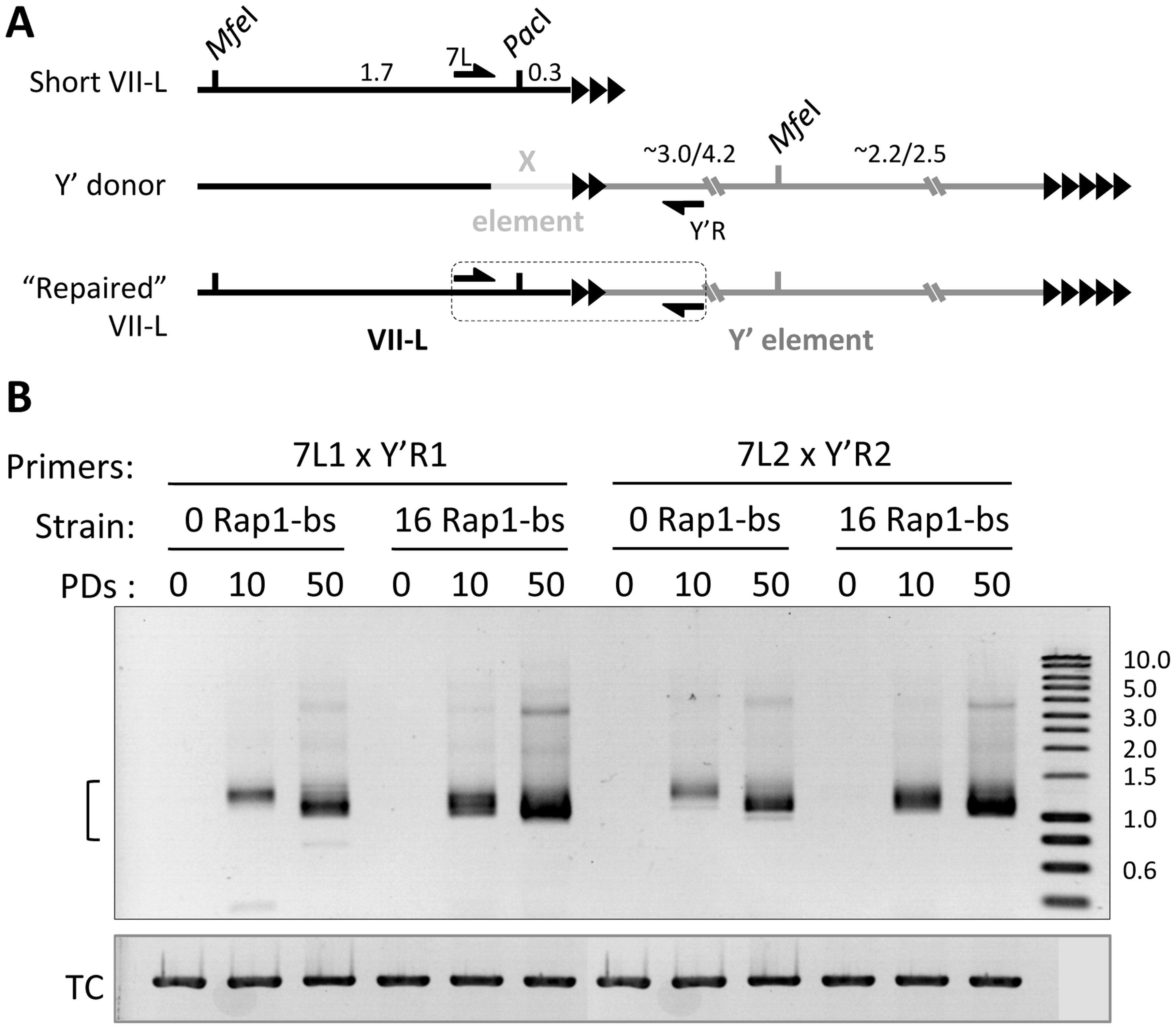 Y′ element translocation on VII-L end is readily detected by PCR across the junction.