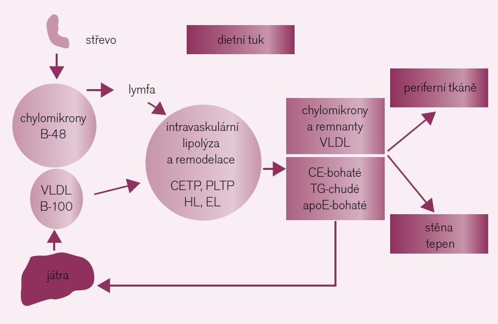 Po vstupu do cirkulace prodělávají chylomikrony (obsahující apo B-48 a tvořené v tenkém střevě) a VLDL (obsahující apo B-100 a tvořené v játrech) lipolýzu za účasti LPL zejména v periferních tkáních (hlavně v tukové tkáni a svalech). K intravaskulární remodelaci na triglyceridy bohatých lipoproteinů dochází za účasti transportních lipidových proteinů (CETP, PLTP) a dalších lipáz (HL a EL) za vzniku remnantních částic. Triglyceridy bohaté lipoproteinové remnanty jsou bohaté na cholesterol a apoE, ale chudé na triglyceridy; jsou katabolizovány převážně v játrech po vazbě na LRP- a LDL-receptor. Triglyceridy bohaté lipoproteinové remnanty přispívají k formaci aterosklerotických plátů buď přímo po penetraci do arteriální stěny na místech se zvýšenou permeabilitou endotelu, nebo pravděpodobně také nepřímo po uvolnění produktů lipolýzy (např. FFA a lysolecithin), které aktivují proinflamatorní signální cesty v buňkách endotelu.