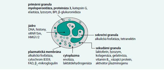 Neutrofilní granulocyt – obsah granulí a cíle autoprotilátek. Obrázek ukazuje cílové antigeny u neutrofilního granulocytu, nicméně autoprotilátky ANCA jsou namířeny i proti strukturám jiných buněk, například lyzosomů monocytů.