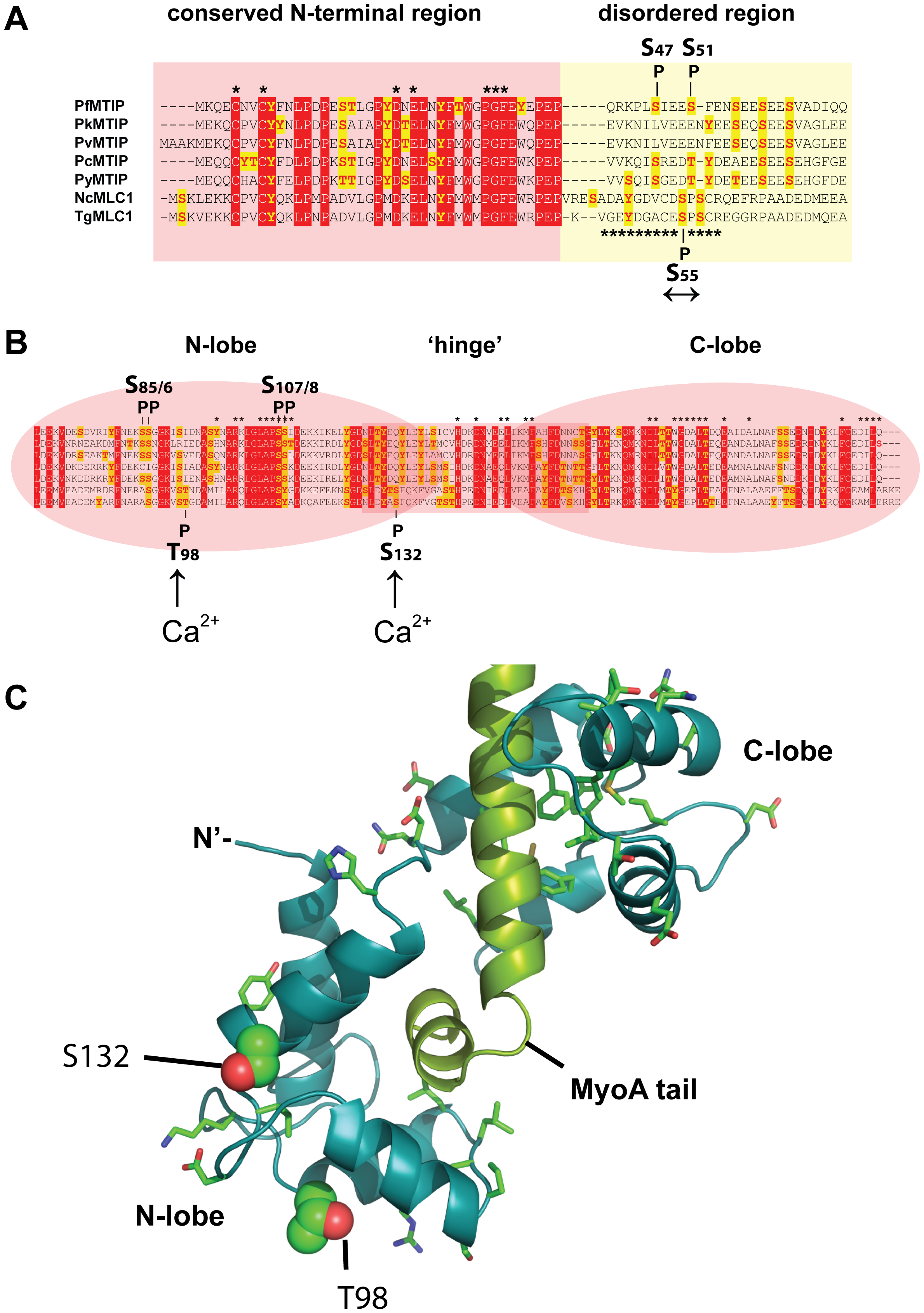 Predicted structure and phosphorylation of <i>Toxoplasma</i> MLC1.
