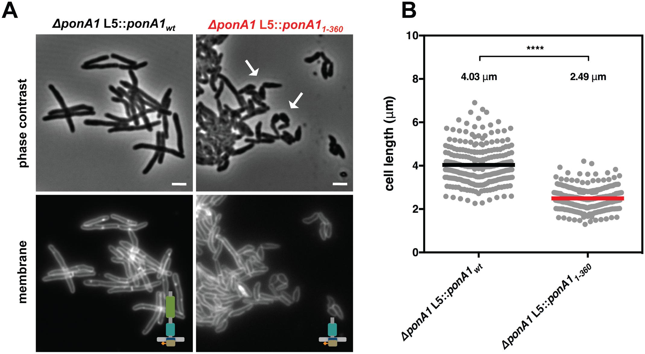 PonA1's periplasmic domains modulate cell shape in mycobacteria.