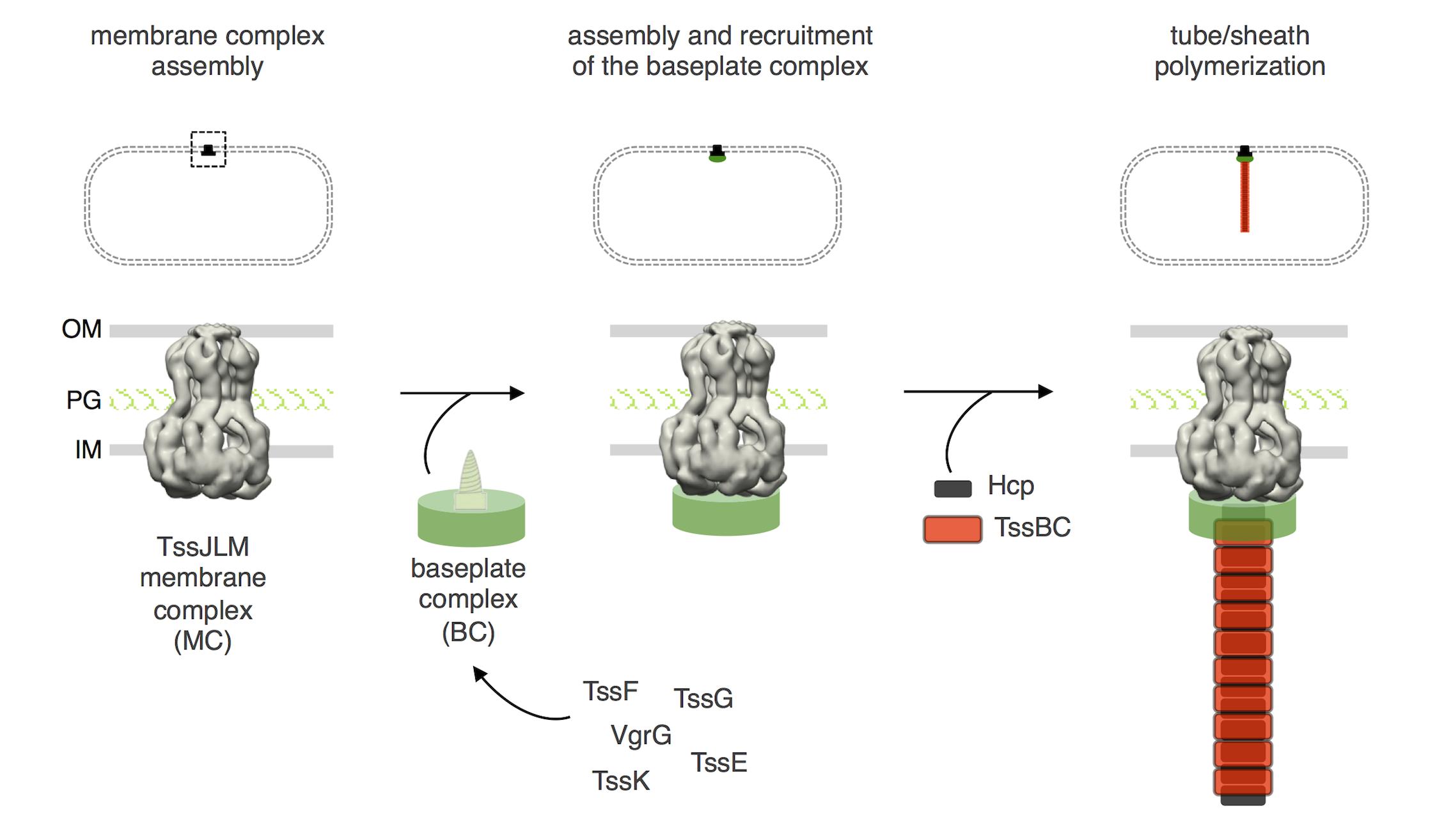 Assembly of the Type VI secretion system.