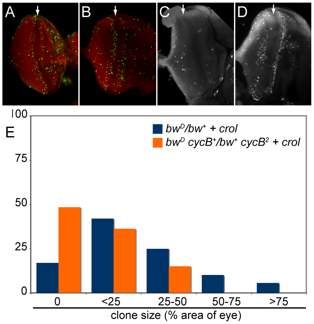 Accelerated cell cycles accompany <i>crol</i> -mediated de-repression.