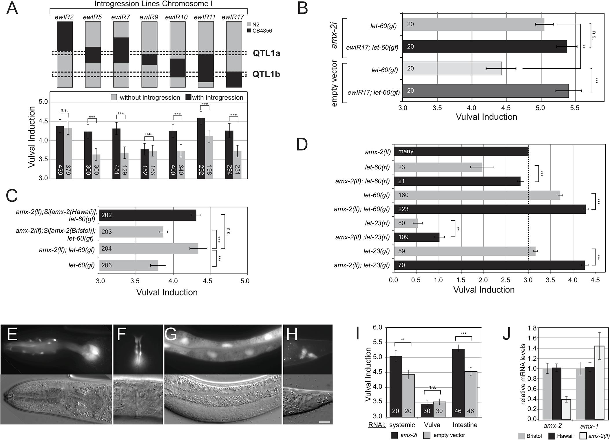 AMX-2 negatively regulates RAS/MAPK signaling.