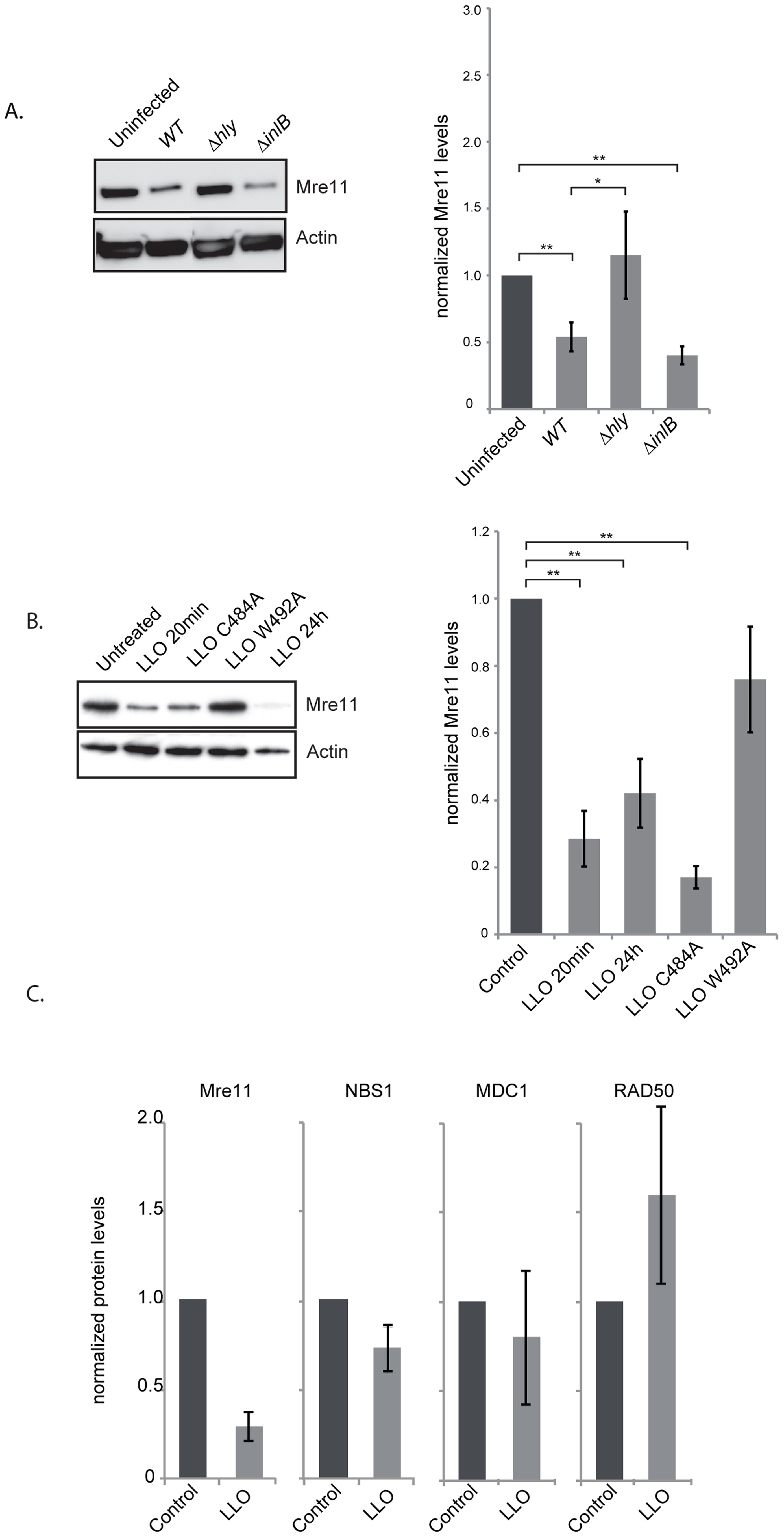 LLO induces a decrease in Mre11 protein levels.