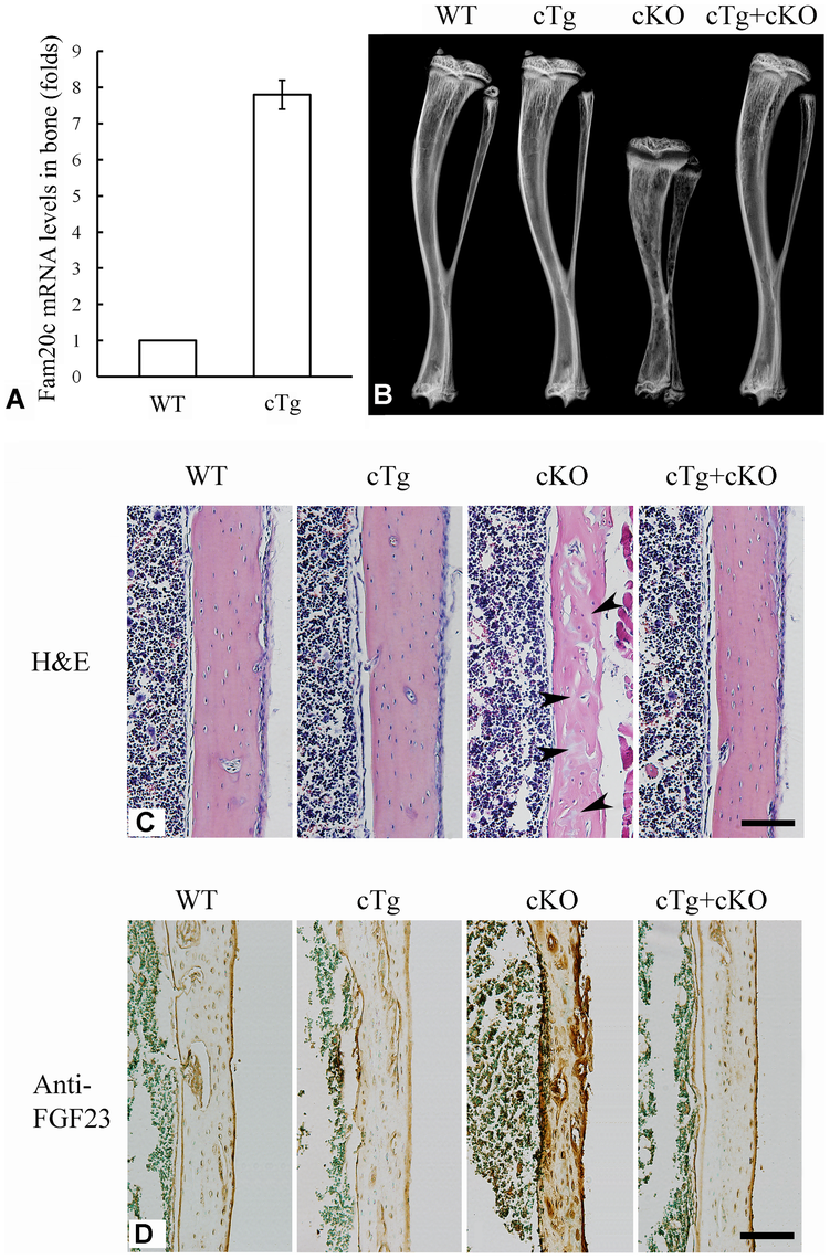 Expression of the <i>Fam20c</i> transgene rescued the defects of <i>Sox2-Cre-Fam20c</i>-cKO mice.