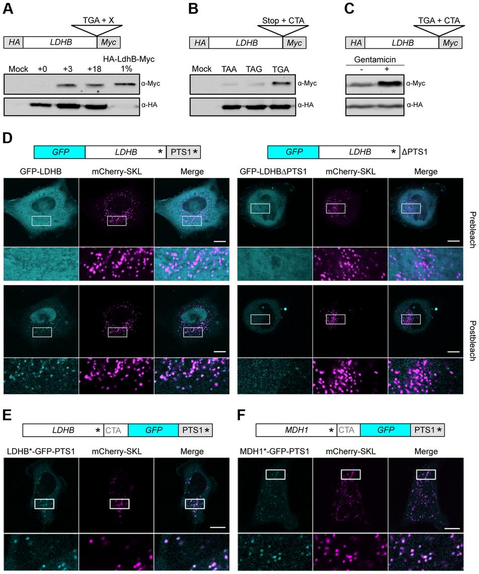 Analysis of peroxisomal targeting of LDHB via translational readthrough in HeLa cells.