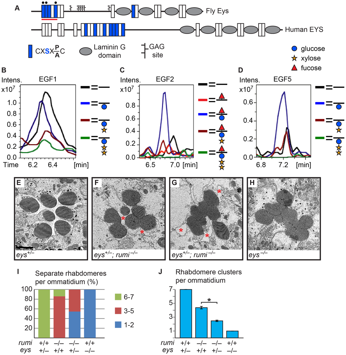Eys is <i>O</i>-glucosylated and <i>eys</i> genetically interacts with <i>rumi</i>.